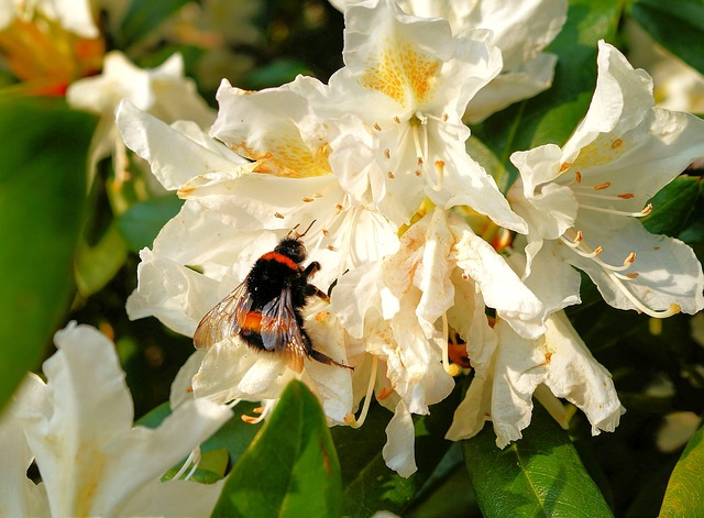 rhododendrons-335782_640.jpg