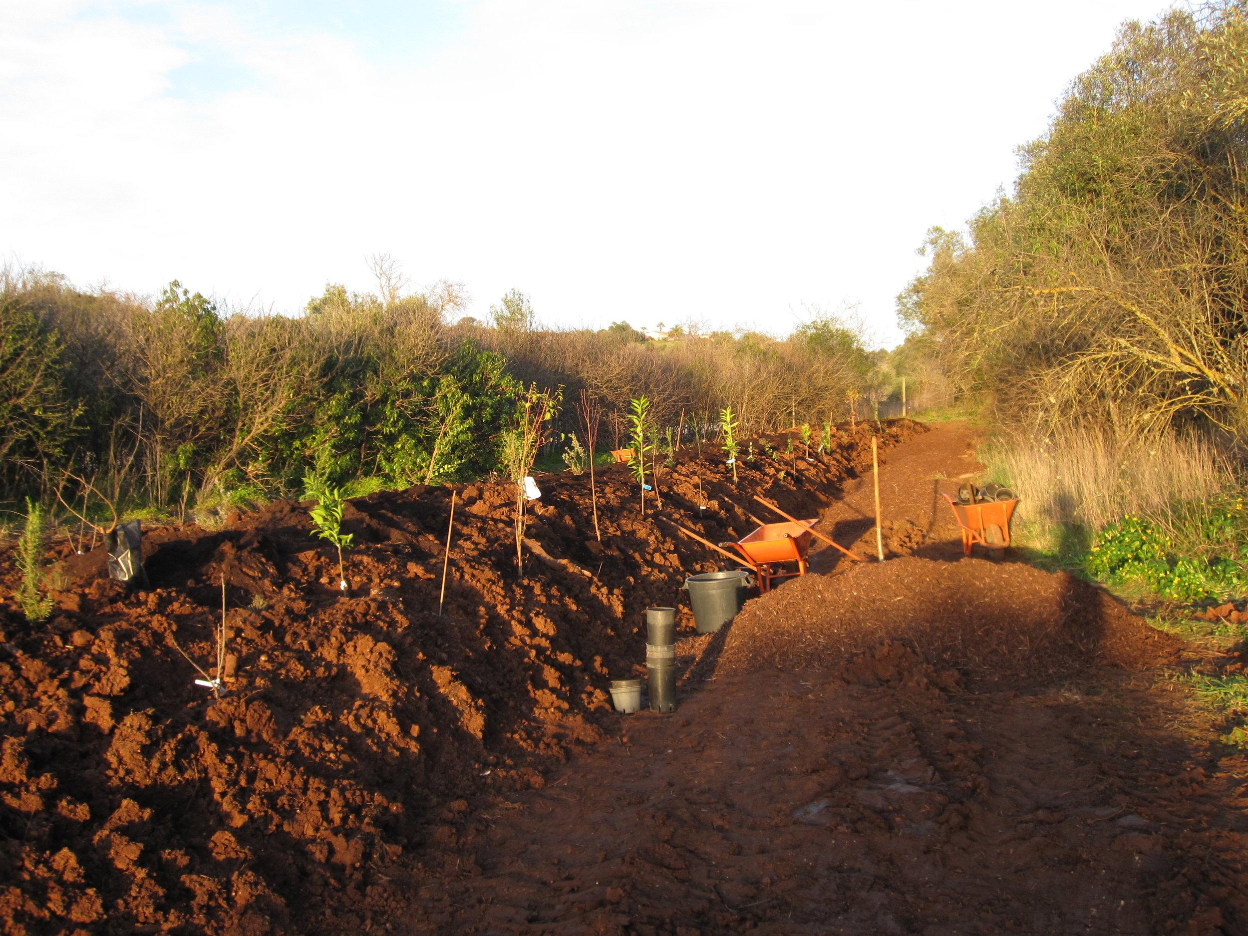 Productieve fruithaag op een nieuwe dijk. Quinta de Fonte Velha, Algarve, Portugal.