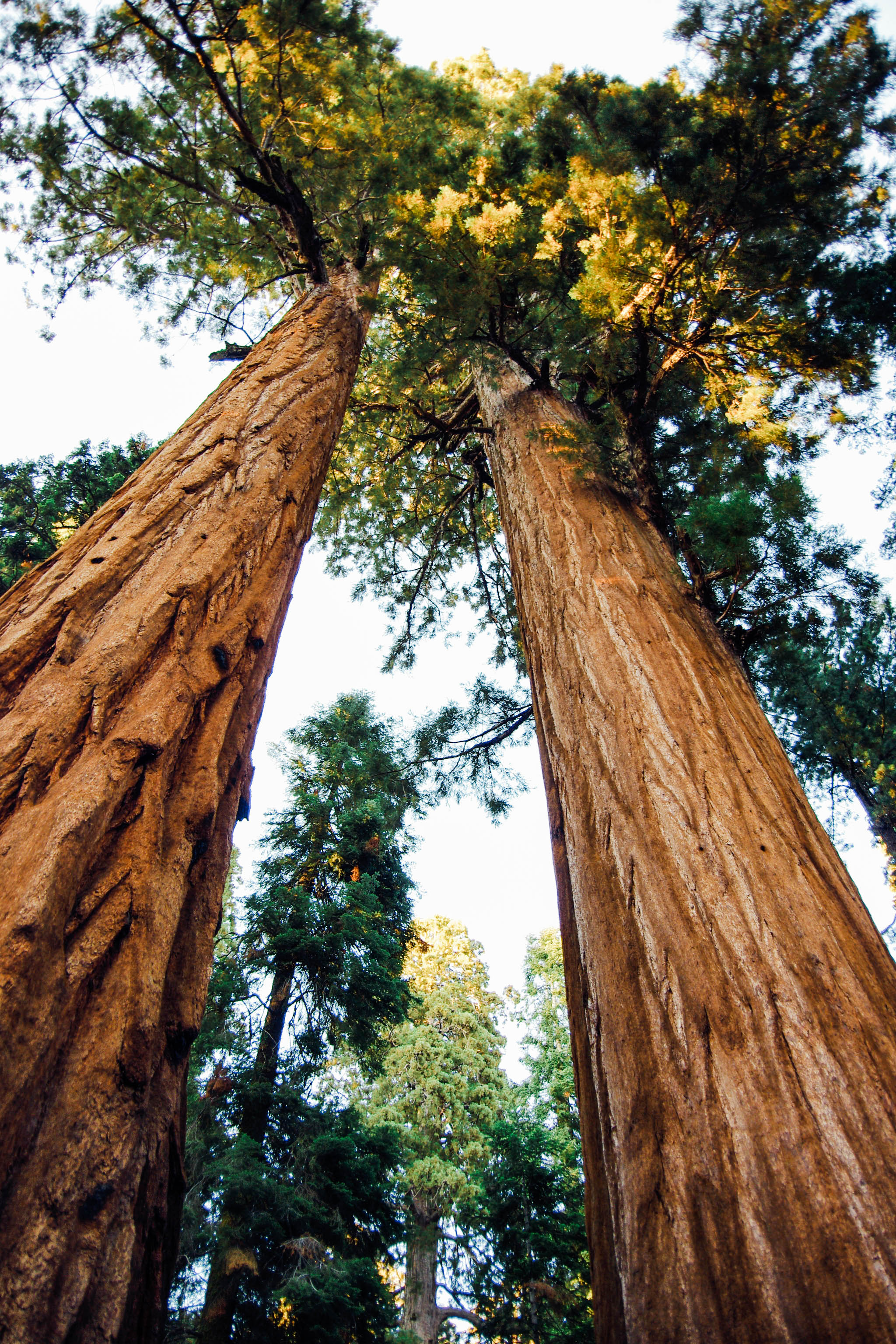 Elope amongest the giants in Sequoia national park