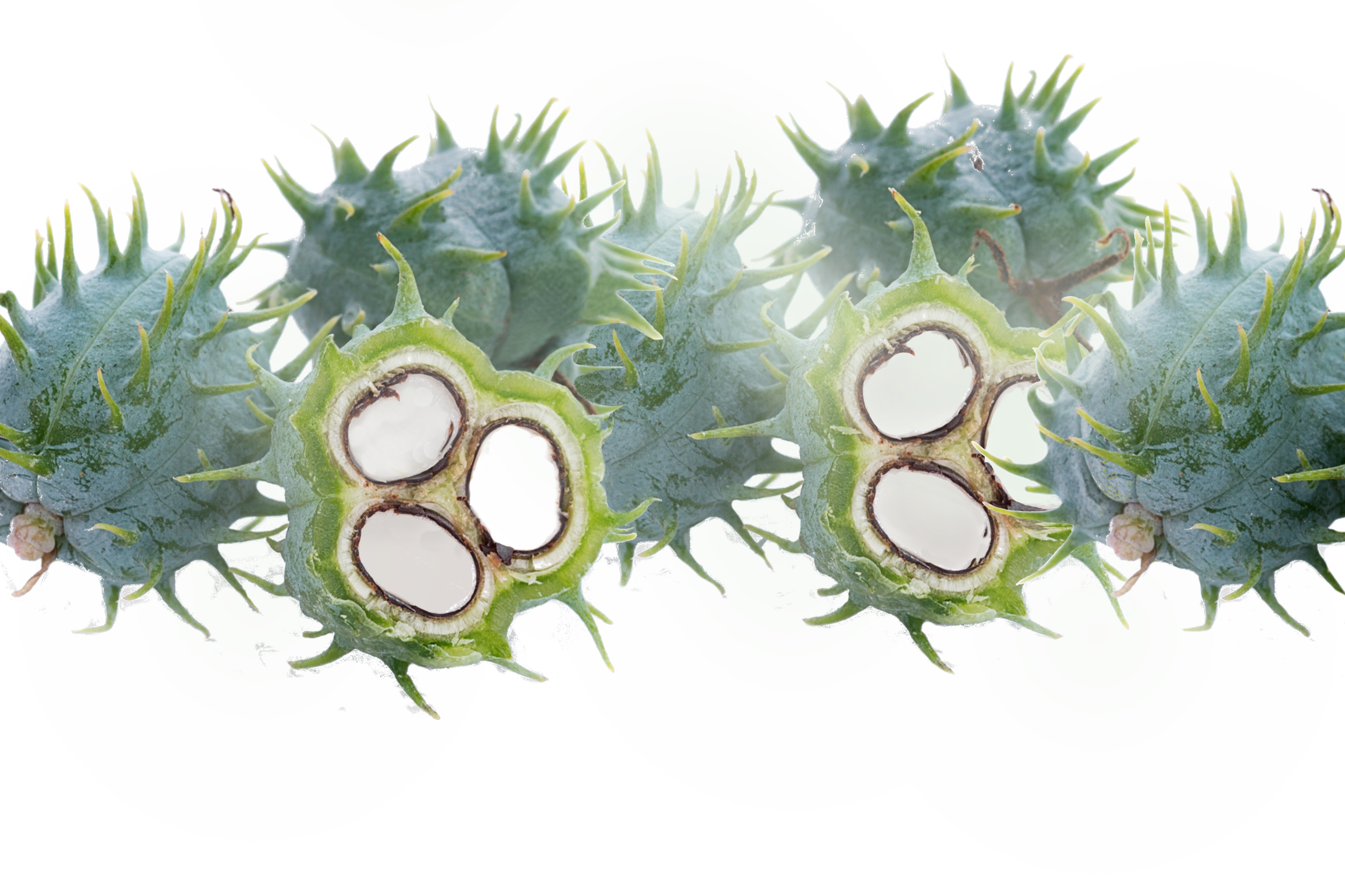 castor bean long image.png