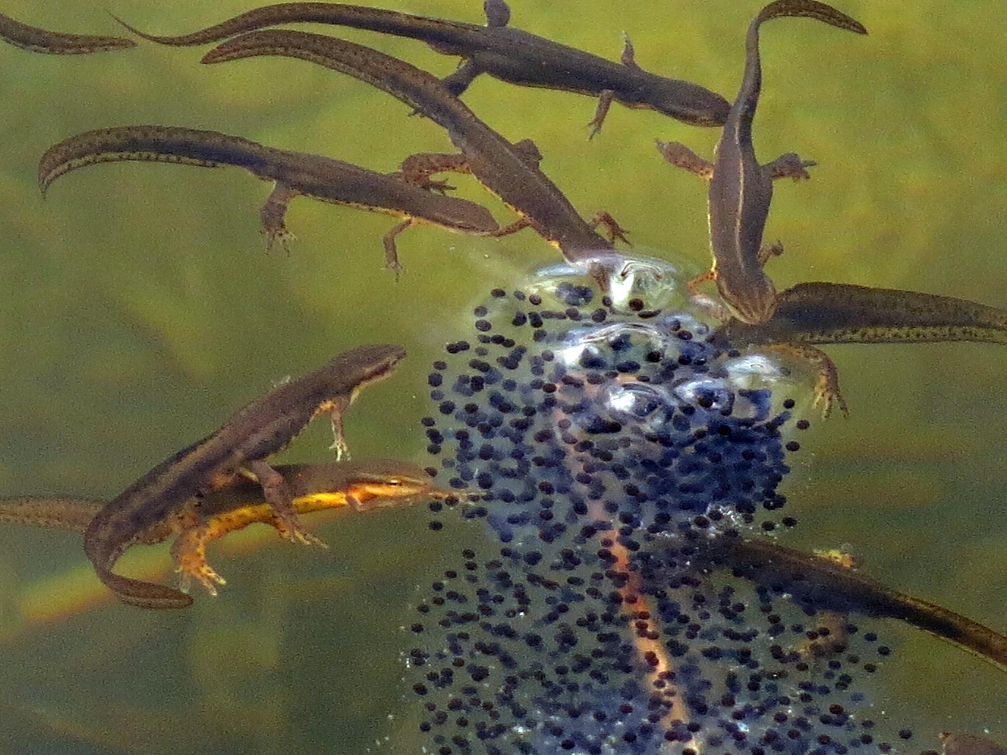 HerpsTT4694_Eastern Spotted Newts Surrounding Wood Frog Egg Mass.jpg
