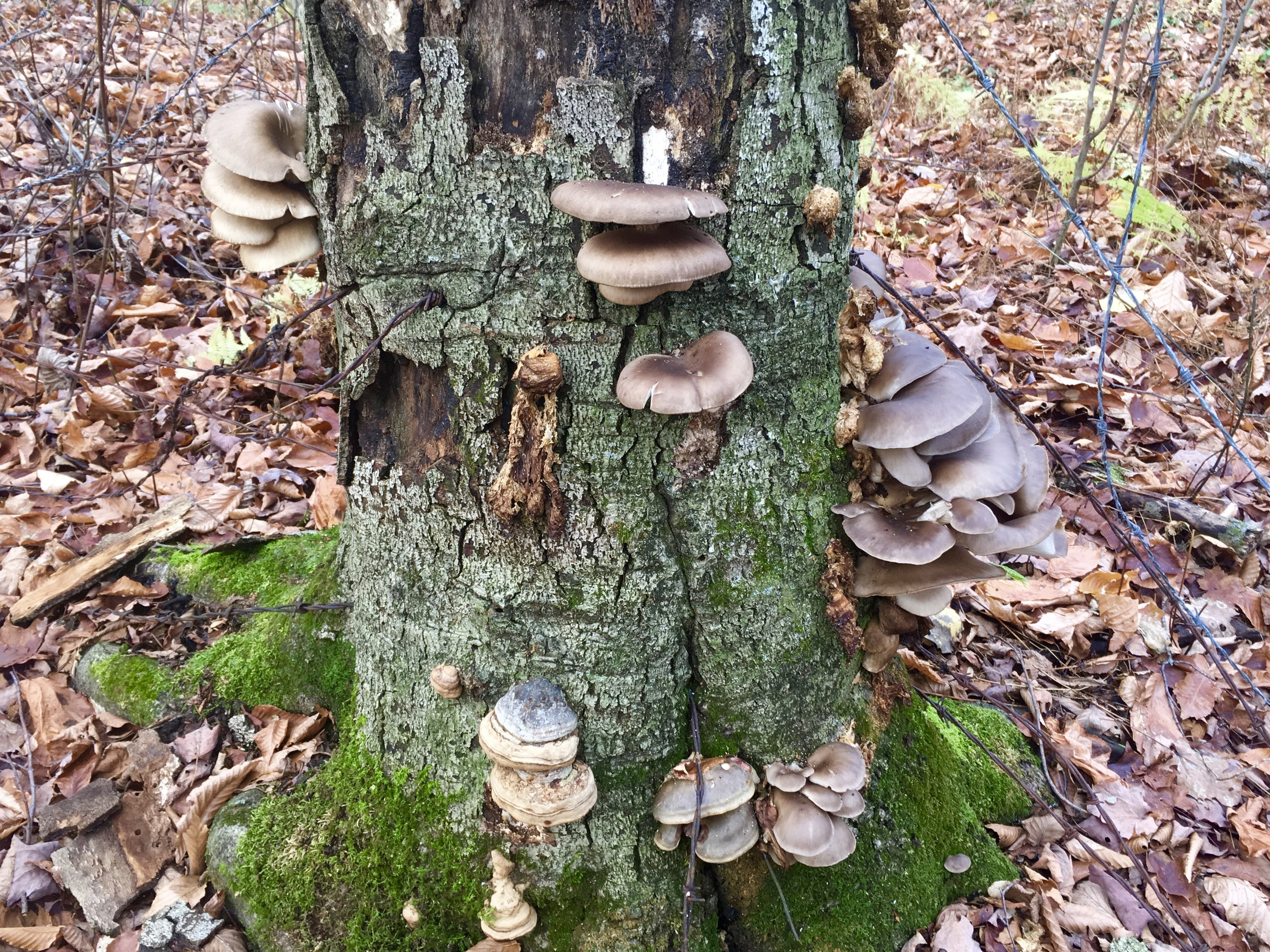 - Wild oyster mushrooms and horse hoof fungus (fomes fomentarius).