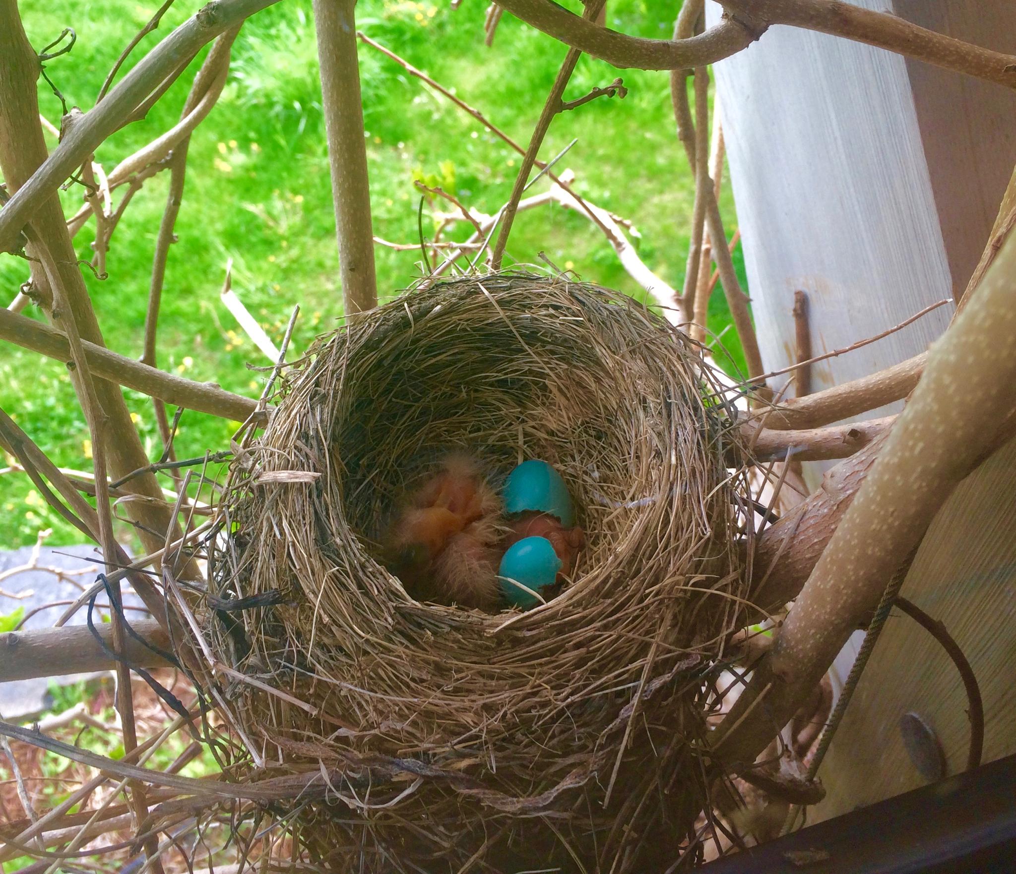 hatching robins