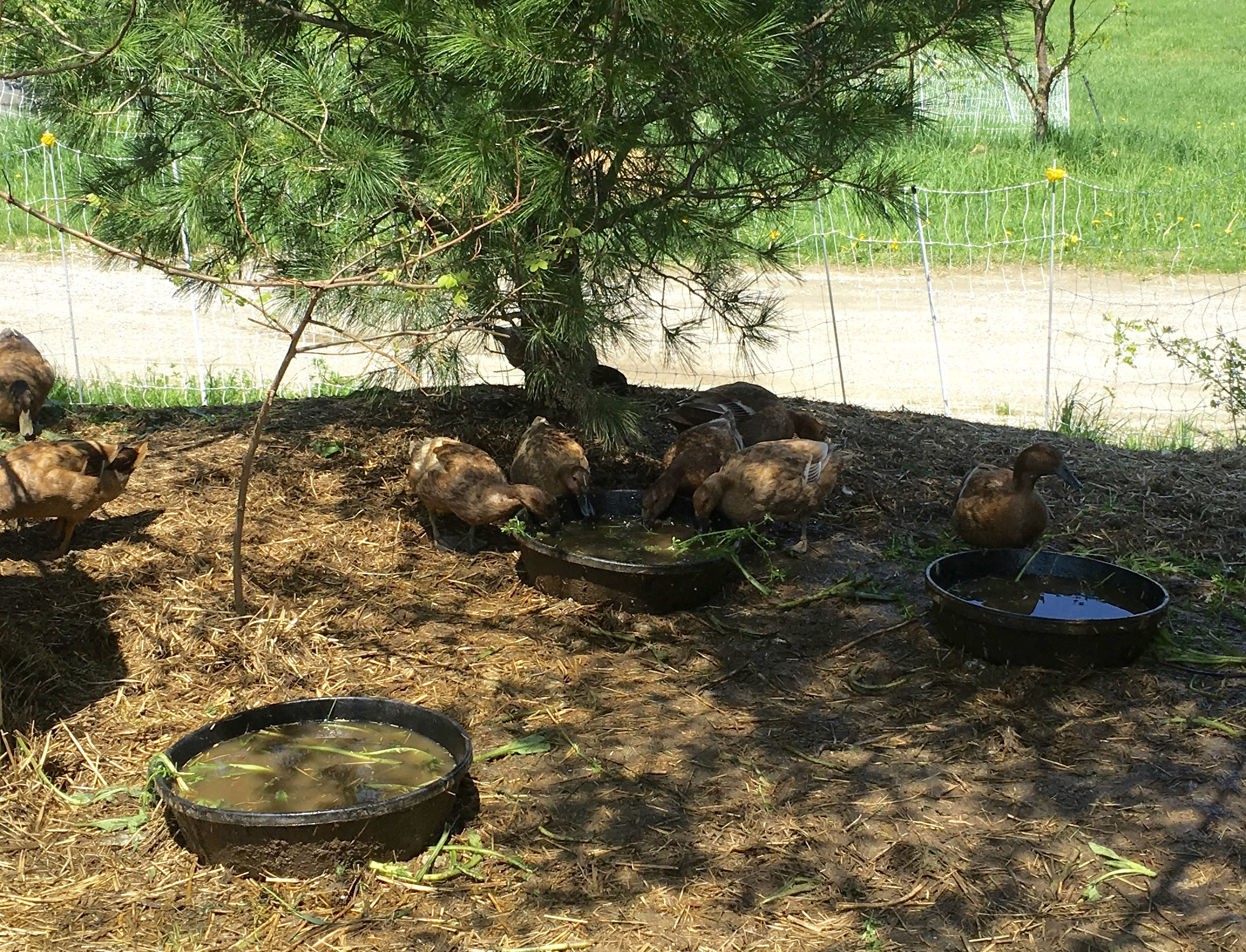 Ducks dip greens in their water bowls and strip the leaves from the bedstraw, leaving only the stems.