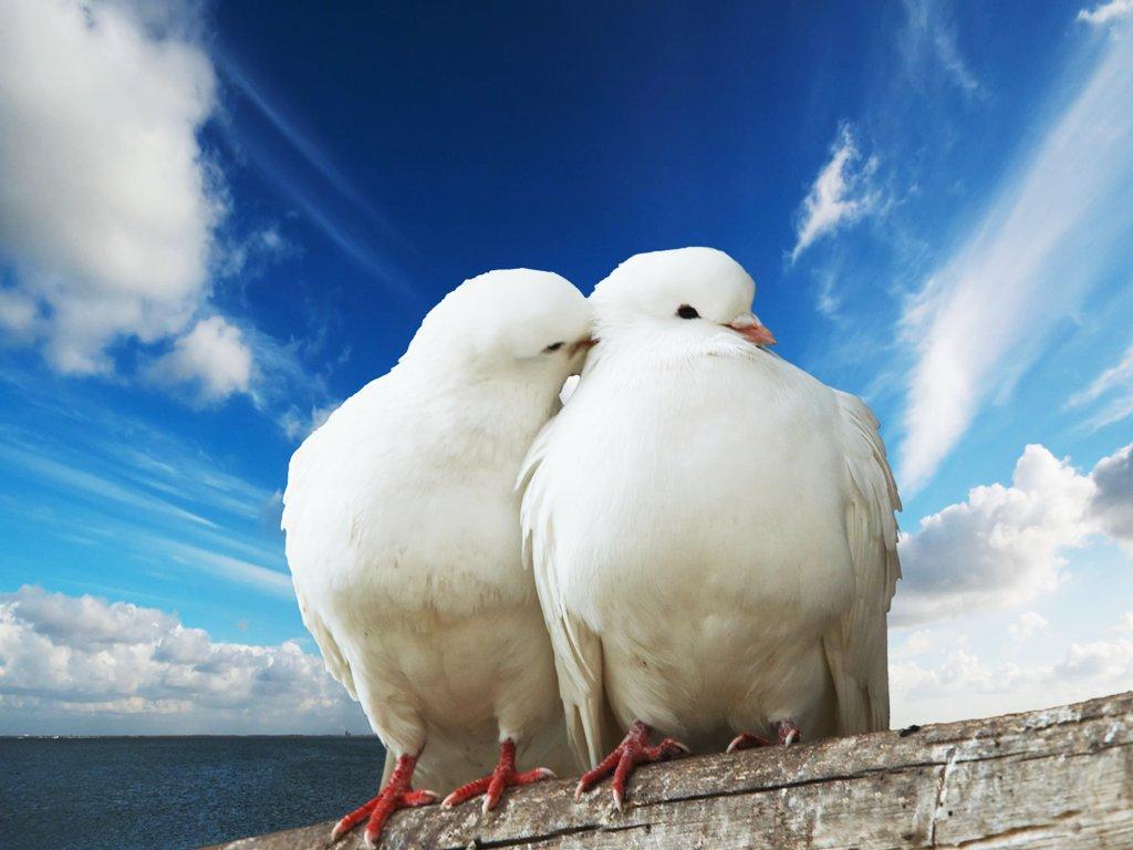 41. Doves-doves-31209124-1024-768.jpg