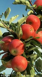 10. apples on branches.jpg