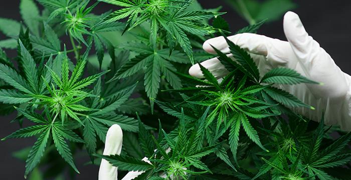 Marijuana Cultivation Santa Ana.jpg