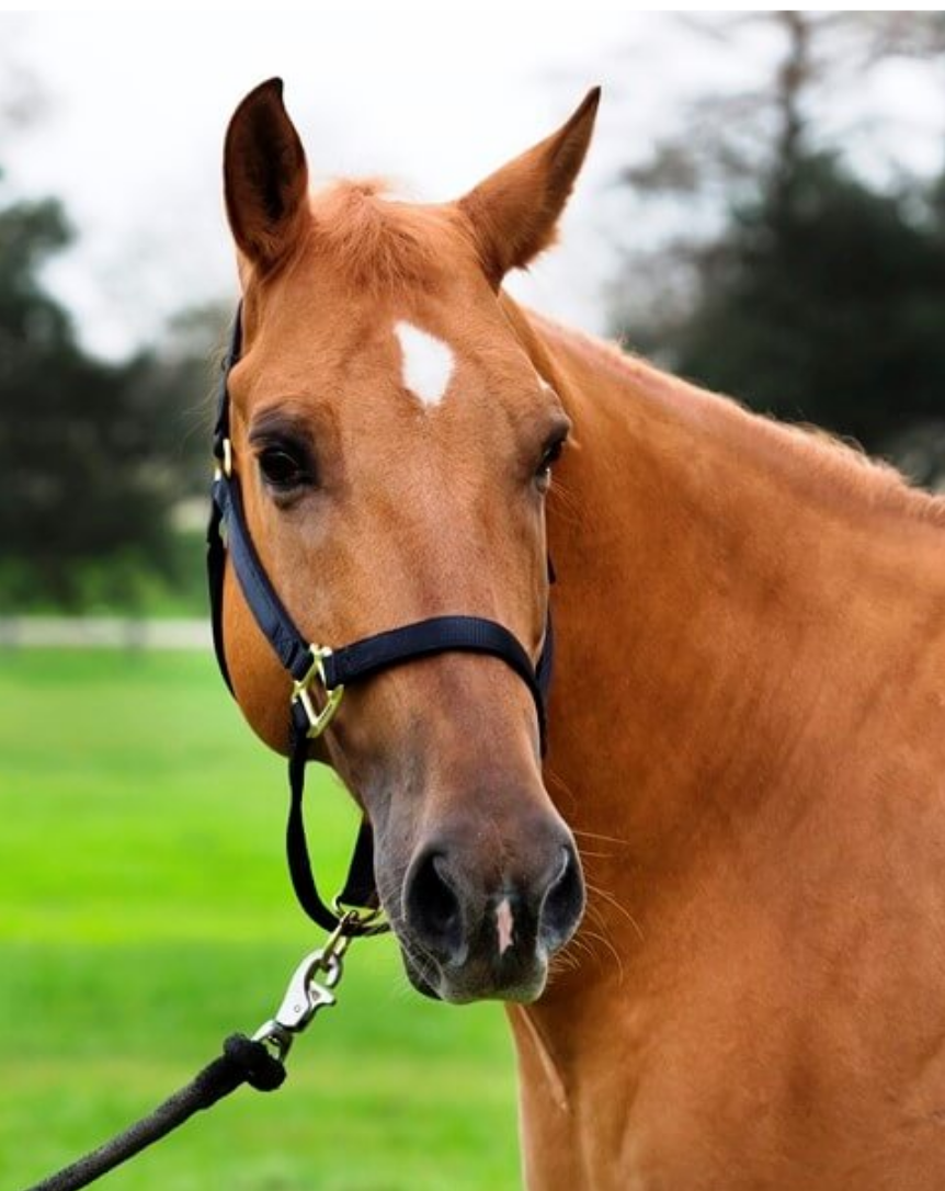 "Josey - Josey is a Registered American Quarter Horse Gelding. His coat is a Red Dun and he stands 15/1 hands high. Josey weighs about 1320 pounds and his favorite treat is a pat on the neck. Josey was born in 2011 and has served in the New Orleans Mounted Unit since 2014.Fun Fact: Josey is an American registered quarter horse and comes from a well-bred cutting line. He is quite a character, he is usually the center of attention when patrolling and loves it. He won't let you pass him by without saying Hello. He is also used as the training example in our Mounted classes. He has a lot of grit and is as tough as his name sake ""Josey Wales""."