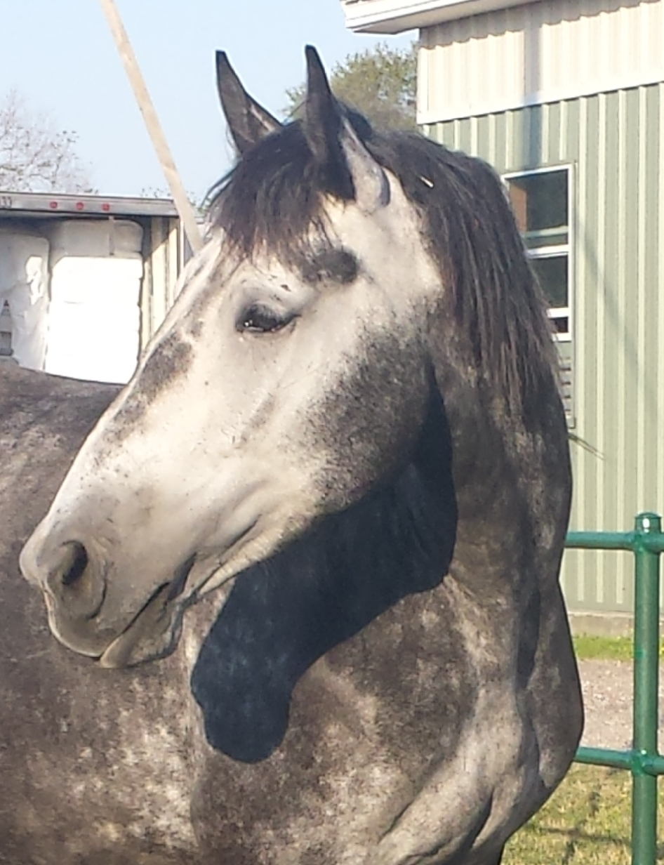 "Endy - Endy is a Percheron Mare . Her coat is Grey and she stands 16/1 hands high. Endy weighs about 1740 pounds and her favorite treat is carrots. Endy was born in 2012 and has served in the New Orleans Mounted Unit since 2016.Fun Fact: Endy was bought in Sept when we learned Angola was shutting down their breeding program. She was picked based on her breeding and good temperament. She is not broke to ride and her purpose was always intended to be a broodmare. Endy recently gave birth to a stud colt ""Tebo's Stardust"" who is already famous with the media. Endy is a natural born mom."
