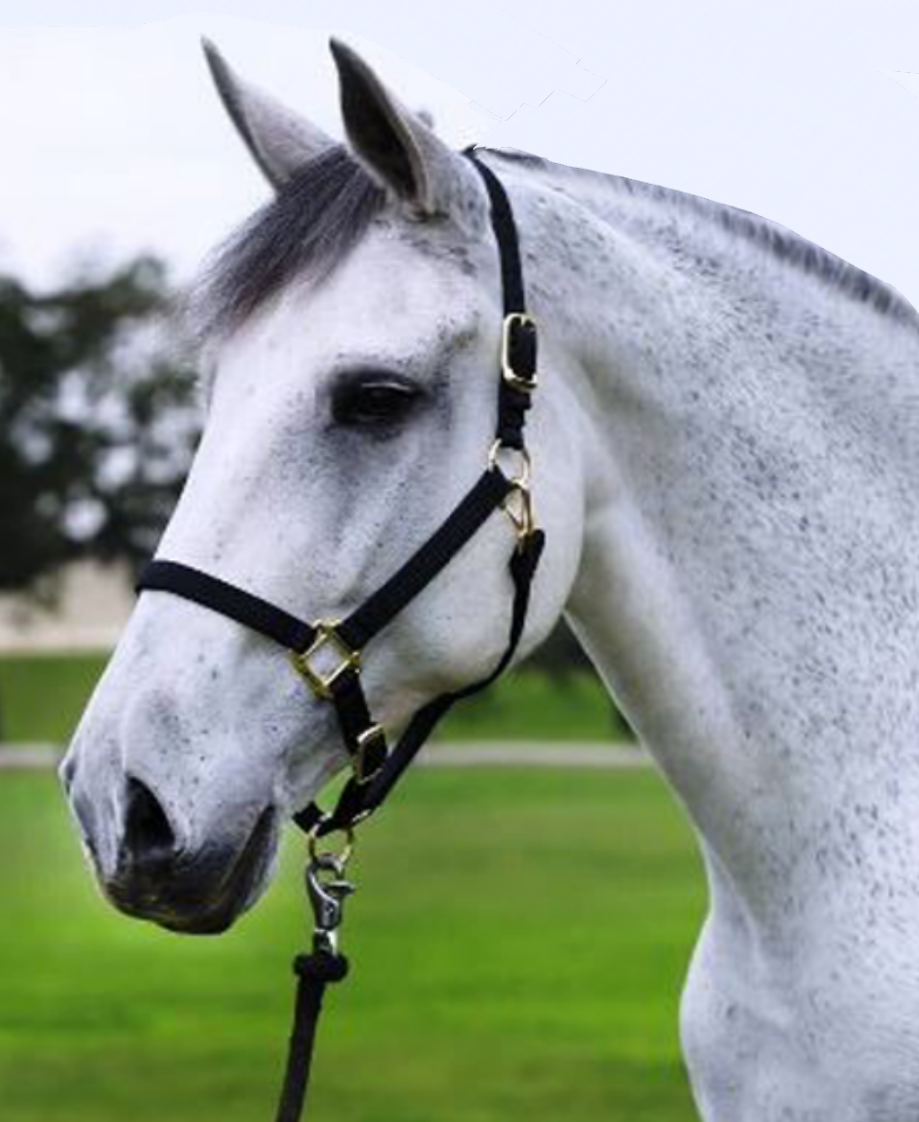 Dude - Dude is a Percheron/ Thoroughbred Gelding. His coat is Grey and he stands 16/2 hands high. Dude weighs about 1425 pounds and his favorite treat is cookies. Tank was born in 2002 and has served in the New Orleans Mounted Unit since 2006.Fun Fact: Dude has served the NOPD for many years through all types of special events including numerous Mardi Gras' seasons and being part of the Rodeo Grand Entry at the UNO lakefront arena in Sept 2014 for which he got his photo posted in the advocate. Dude is also one of the favorites for our new riders during our training classes.