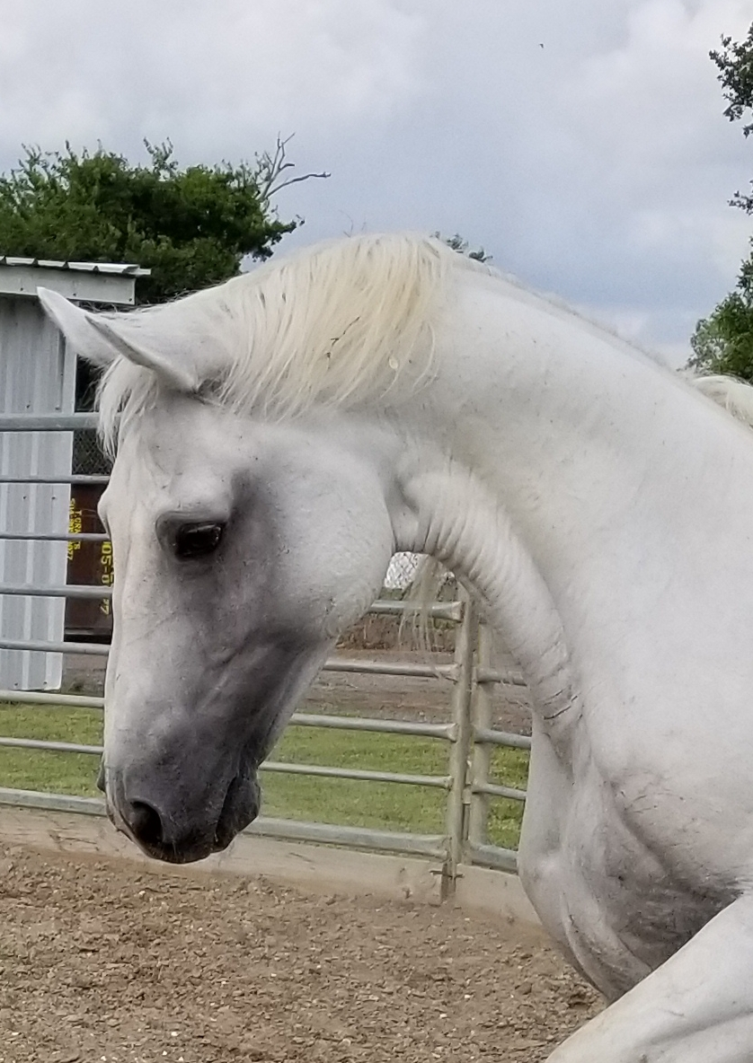 Grey Boy - Grey Boy is a Registered Dutch Warmblood Gelding. His coat is Grey and he stands 15/3 hands high. Grey Boy weighs about 1280 pounds and his favorite treat is alfalfa treats. Grey Boy was born in 1996 and has served in the New Orleans Mounted Unit since 2016.Fun Fact: Grey Boy was shipped from Germany many years ago by a lady whose family later donated him to Angola, where he became one of their breeding studs. We purchased him when Angola terminated their breeding program. He produced many good police horses for Angola, some of which are already part of our herd and we are hopeful he will be just as a good as a police horse.