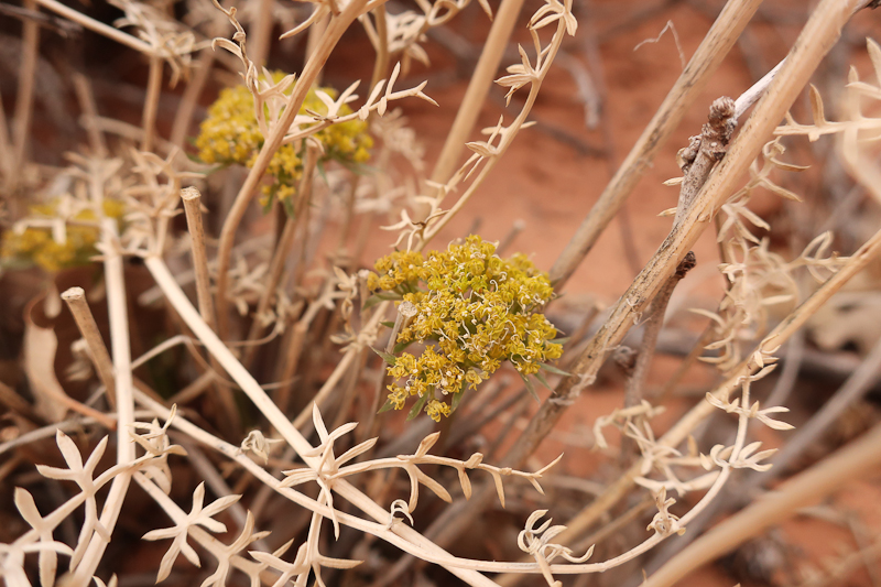 Lomatium  species, Arches National Park, blooming February