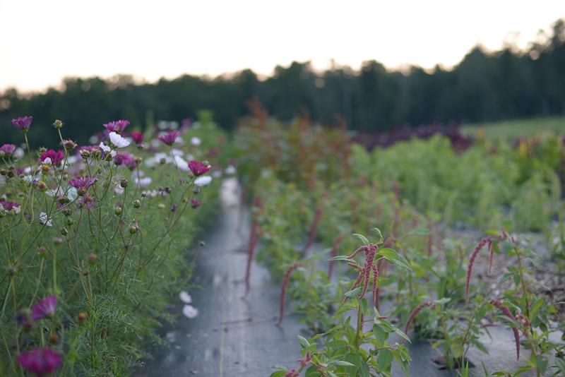 Cut Flowers at  Ironbound Farm , June 22, 2019
