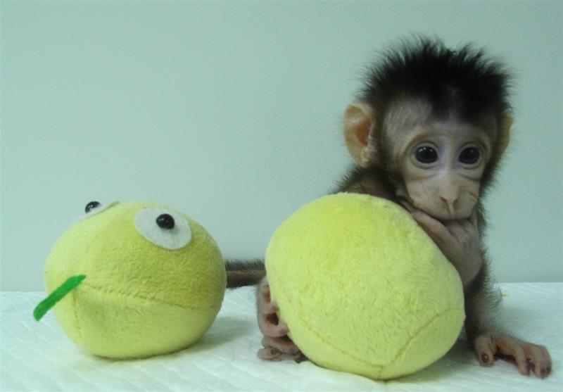 Clonan a dos primates con la misma técnica con la que se creó la oveja Dolly .jpg