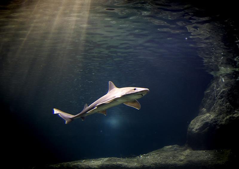 Suben ligeramente los ataques de tiburones, pero preocupa el declive de su población .jpg