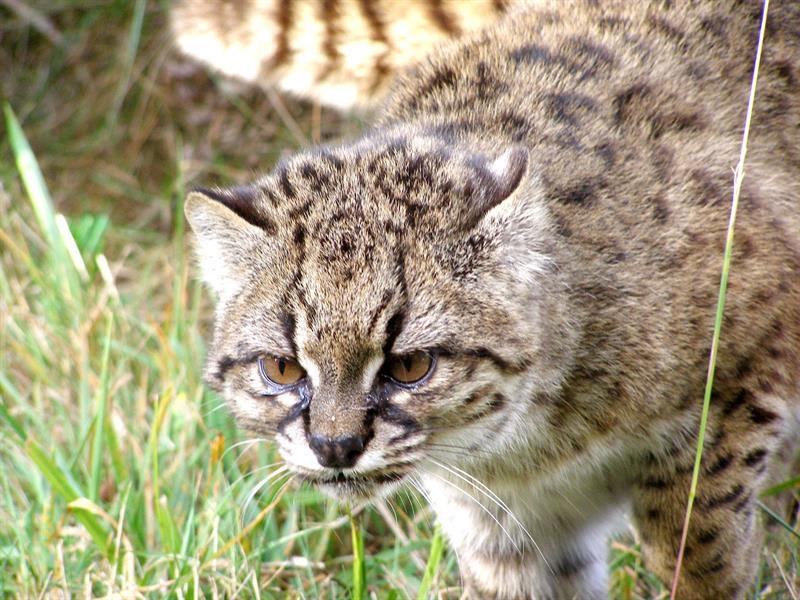 Buscan revertir en Chile peligro de extinción de la güiña, un leopardo diminuto 1.jpg