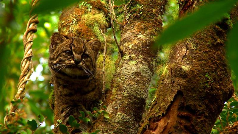 Buscan revertir en Chile peligro de extinción de la güiña, un leopardo diminuto 2.jpg