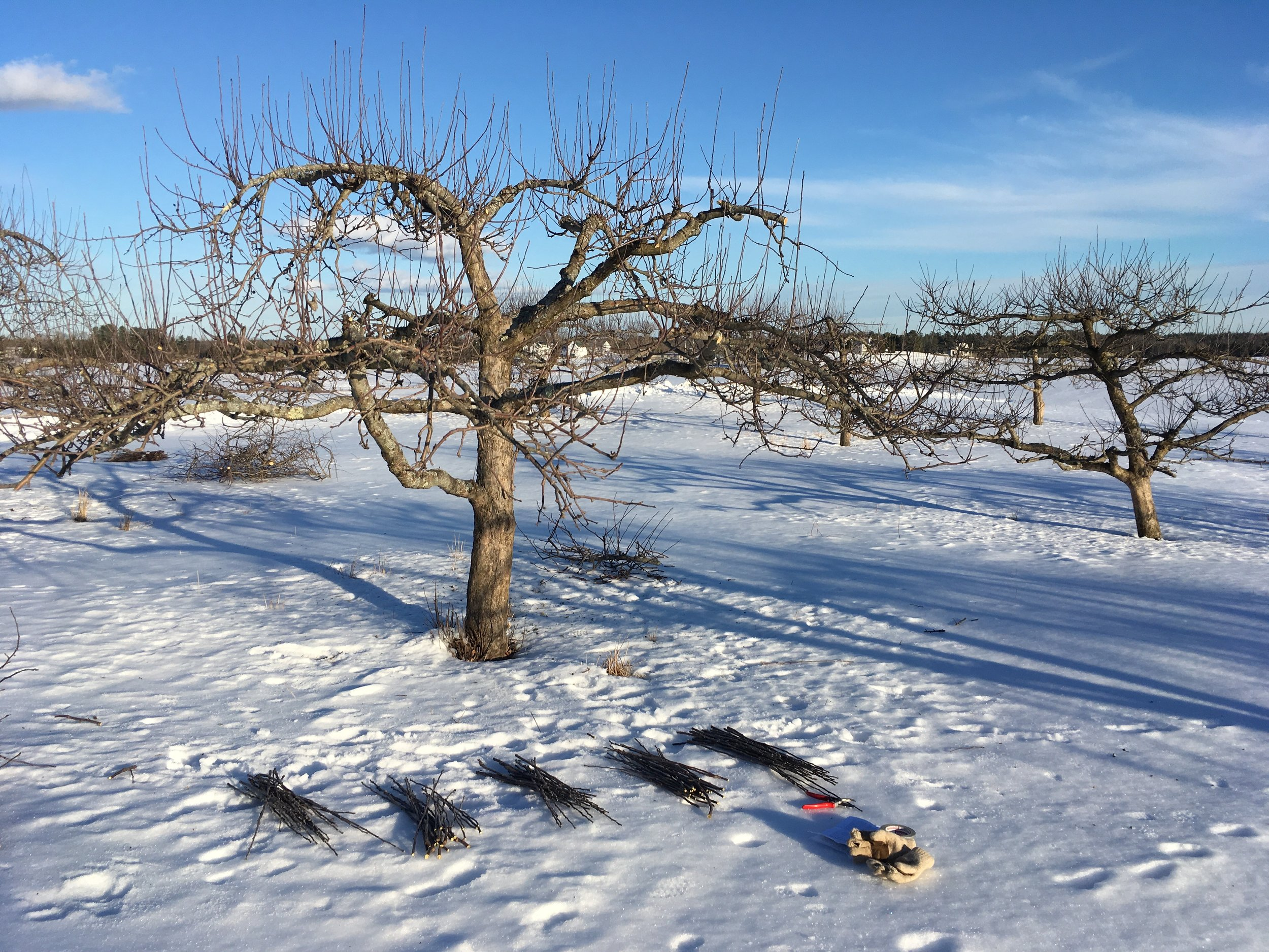 Pruning & Collecting Scionwood @ Laurel Bank's orchard in Whitefield. Photo by Laura Sieger