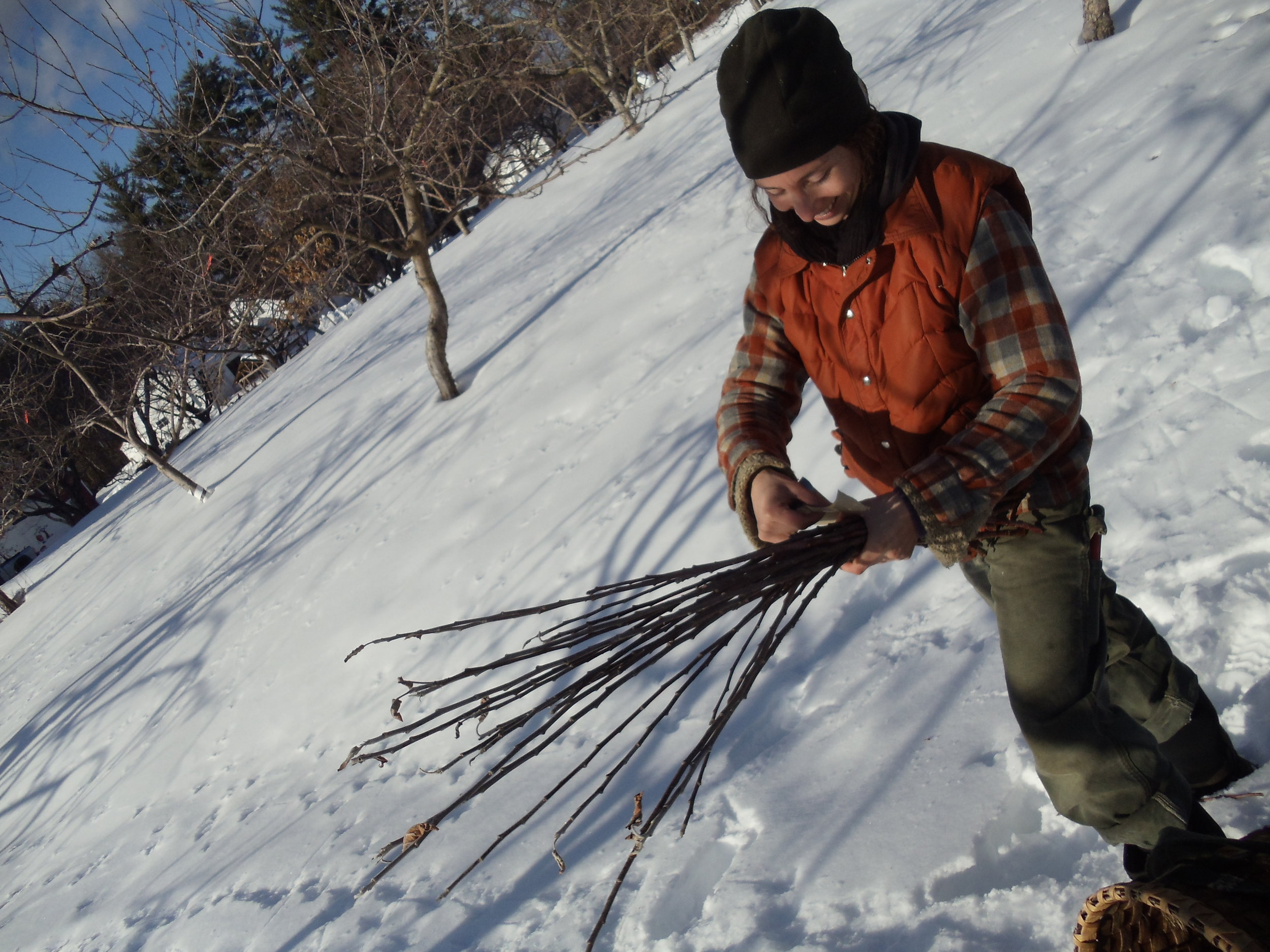Lauren Cormier bundling scionwood. Photo by John Bunker