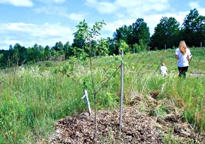 A two-year-old heritage apple tree growing with wood chip mulch. photo by Laura Sieger