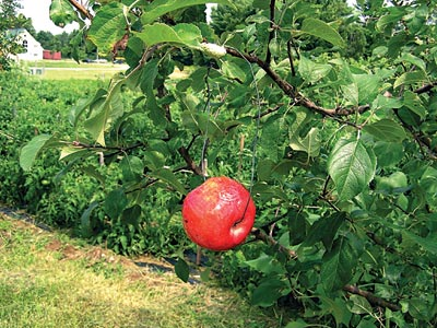 A red ball trap made from a store-bought apple, used to trap apple maggot flies. photo by Jean English