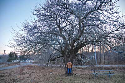 """Rudy Kelly, an ardent heirloom apple tree sleuth and volunteer for MOFGA's Maine Heritage Orchard, standing by an ancient tree he discovered that he calls """"Jake 1829."""" photo by Abbey Verrier"""