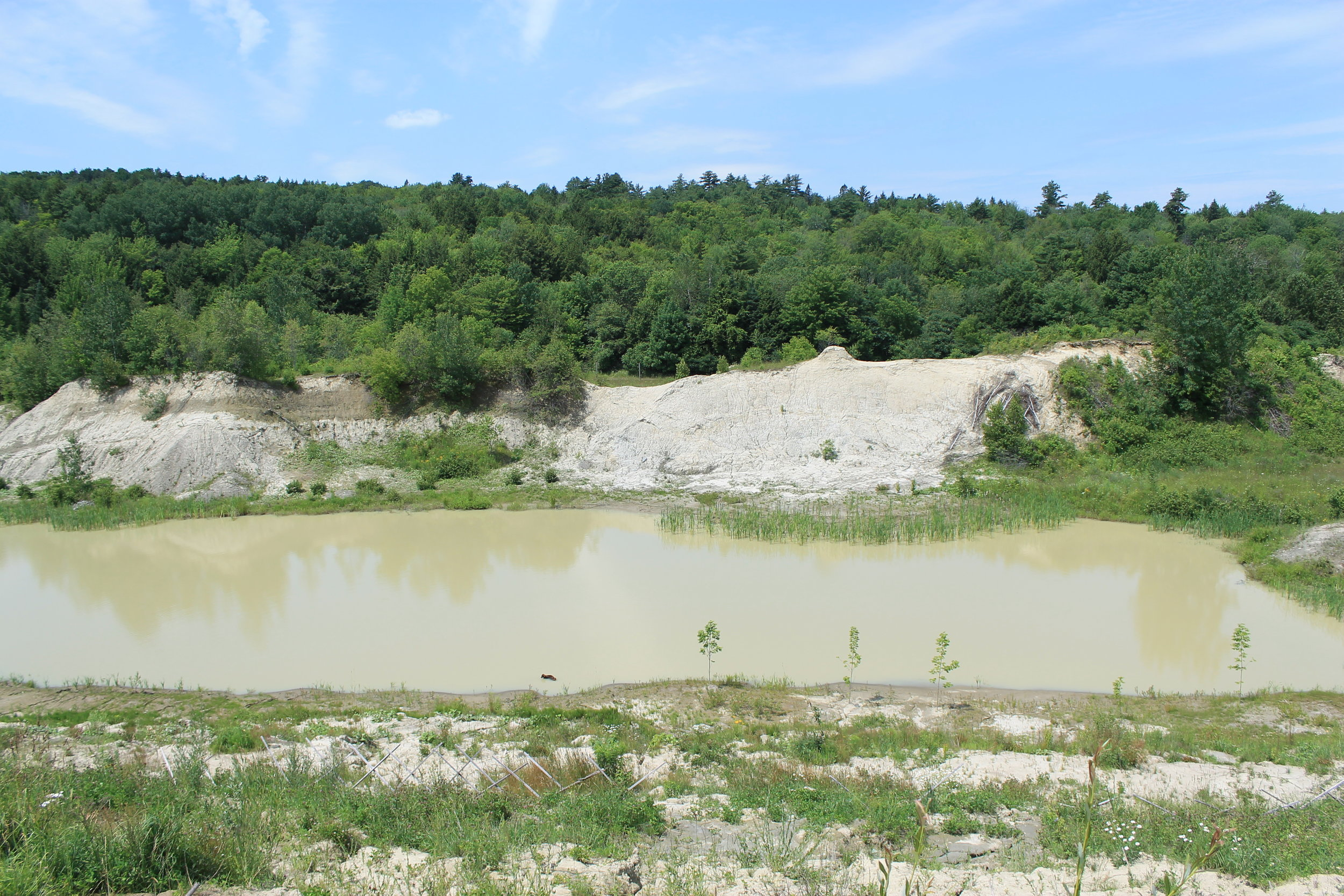 several brown ash trees were planted by the pond in April