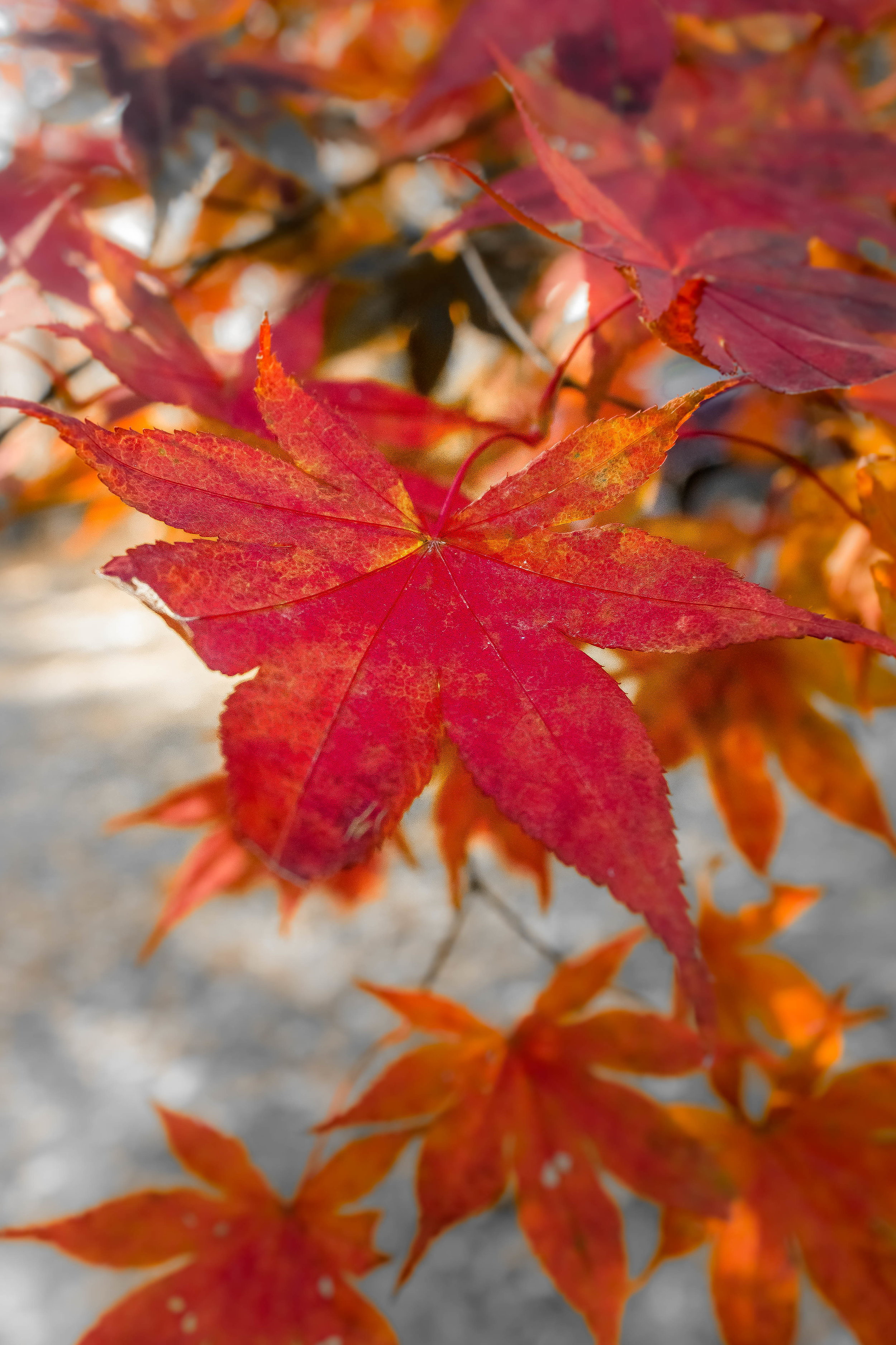 Fall and a Japanese Maple in Anderson County Tennessee