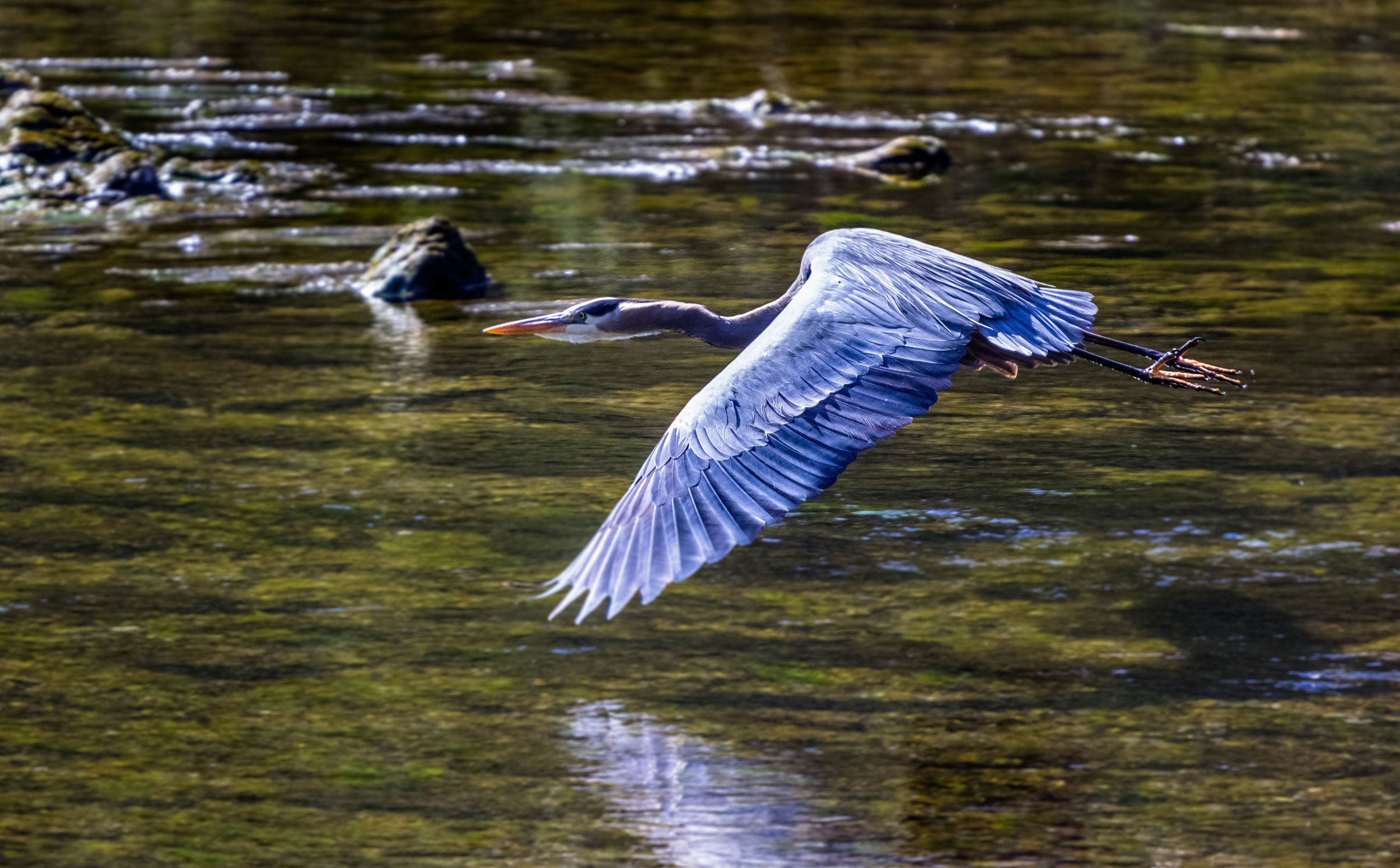 Blue Heron near Norris Dam State Park, Tennessee