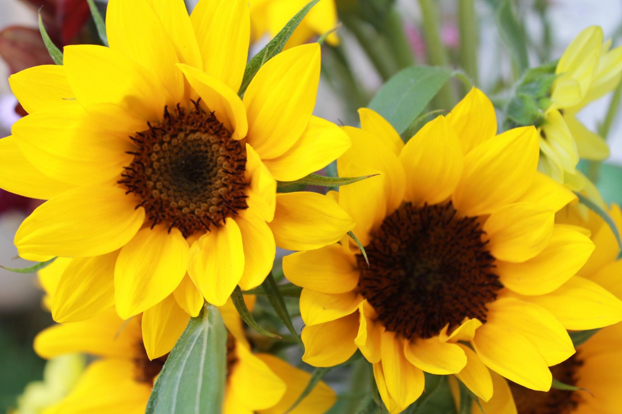 sunrich_sunflowers.jpeg