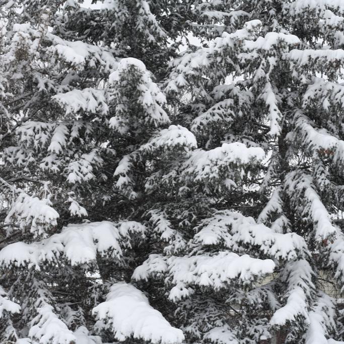 evergreens+across+the+street+winter.jpg