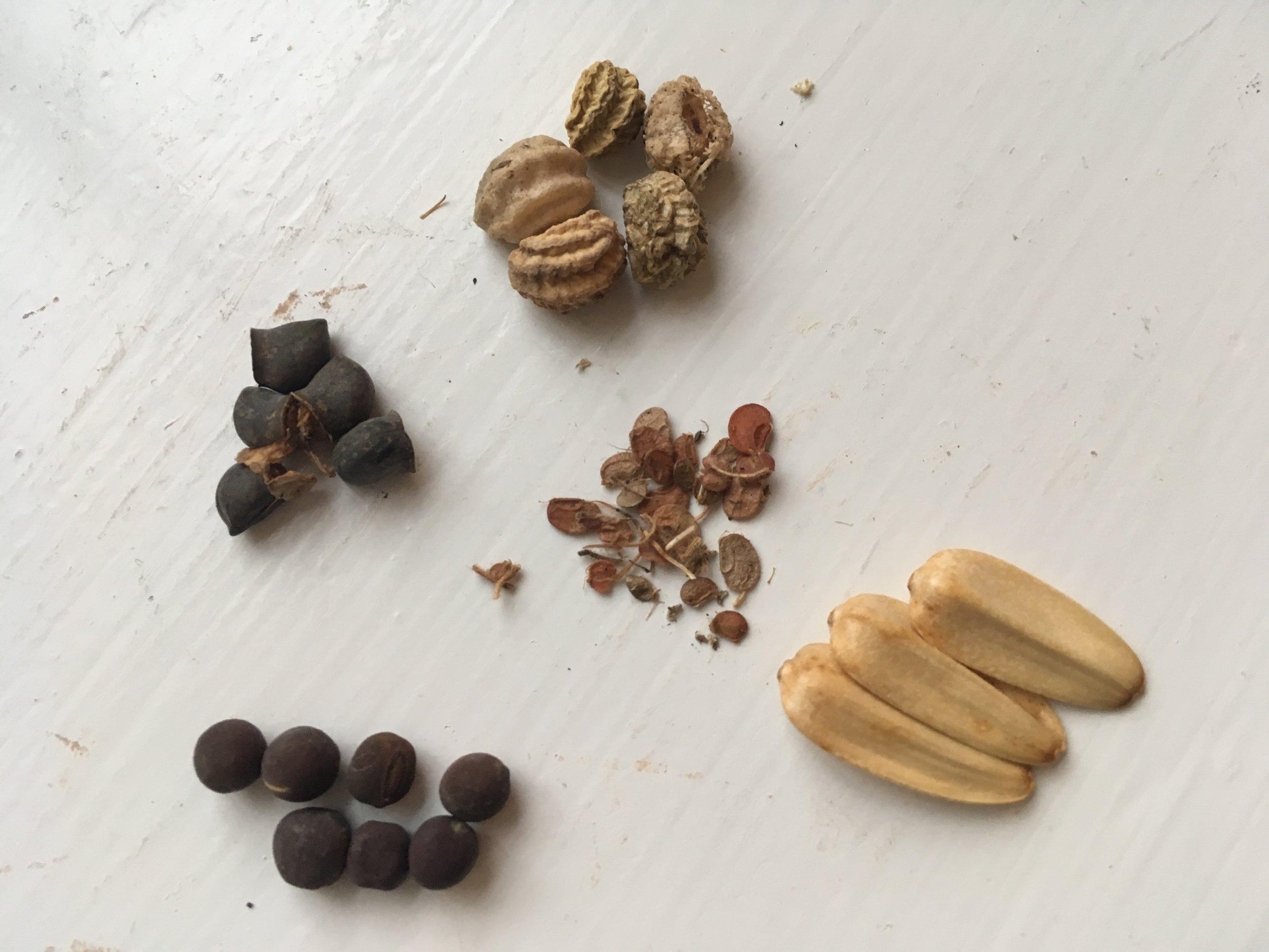 Frø kan se ud på alle mulige måder. Frø af ærteblomster (nederst til venstre) er små perfekte kugler med en appetitlig mat overflade, noget af det lækreste synes jeg (men ikke at spise, de er giftige).