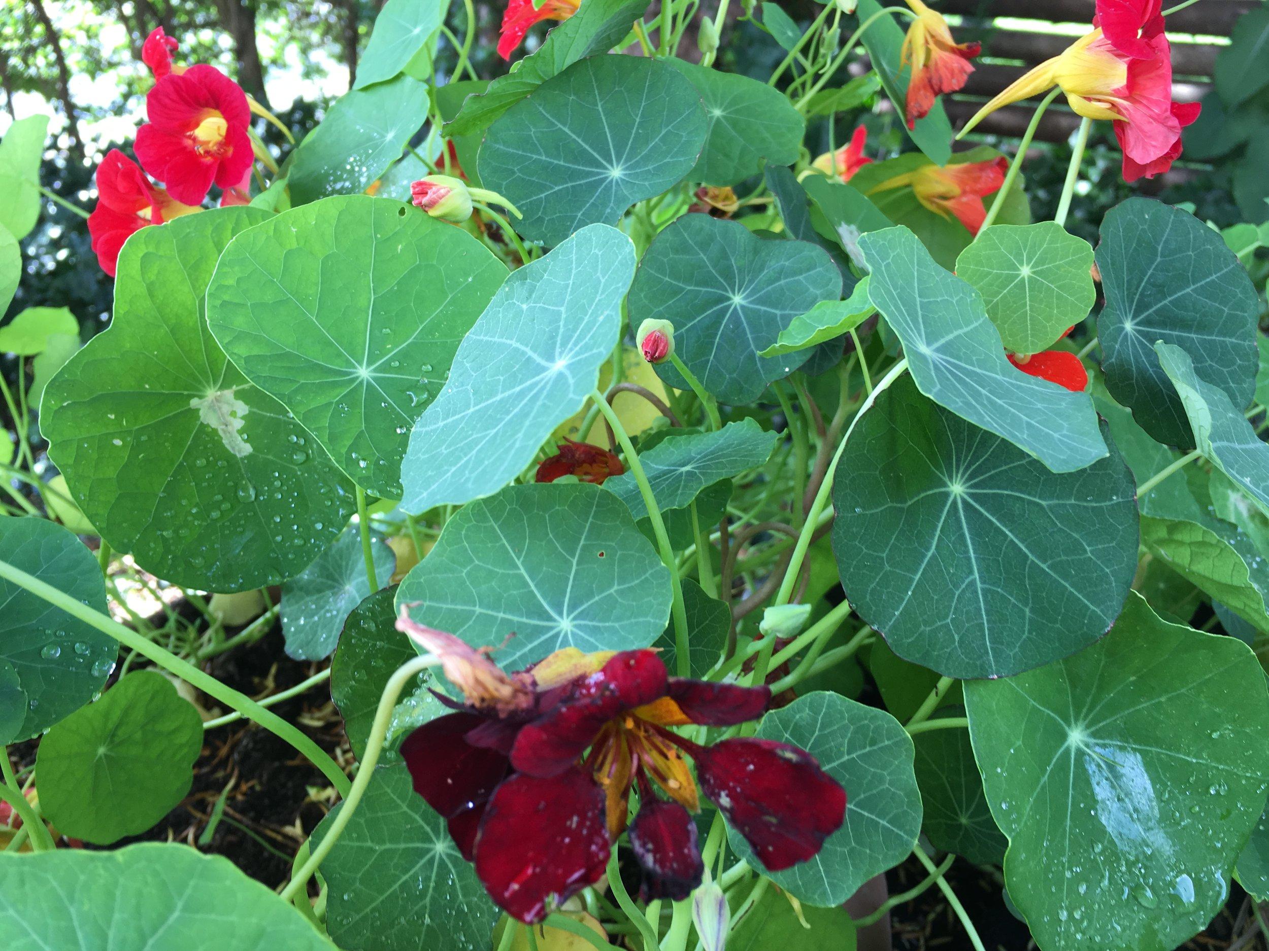 De næsten gratis glæder. TALLERKENSMÆKKER (Tropaeloum majus) har fine runde blade, der tit serveres på smarte restauranter - så den lever op til sit navn.