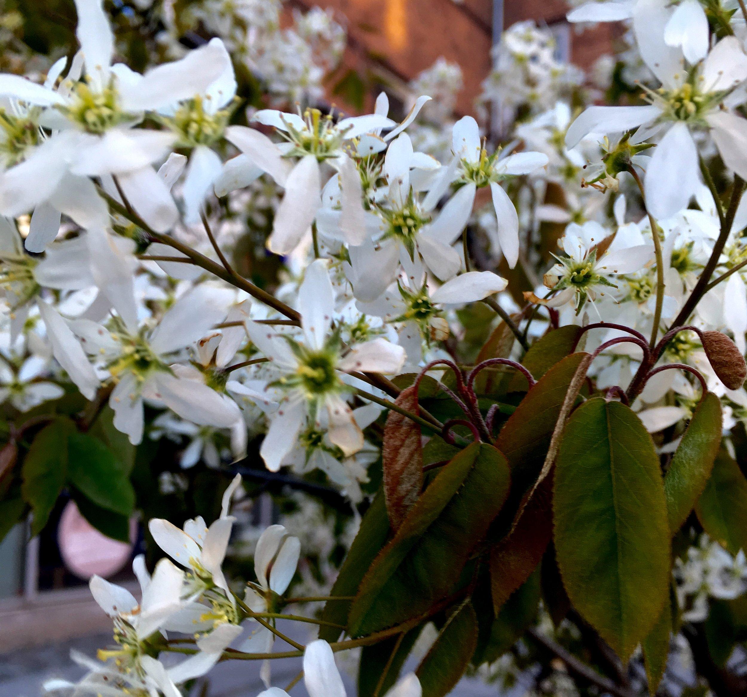 Det her billede gør ikke helt træet ret, synes jeg, men du kan fornemme de bronzefarvede blade, og at det bugner med blomster.