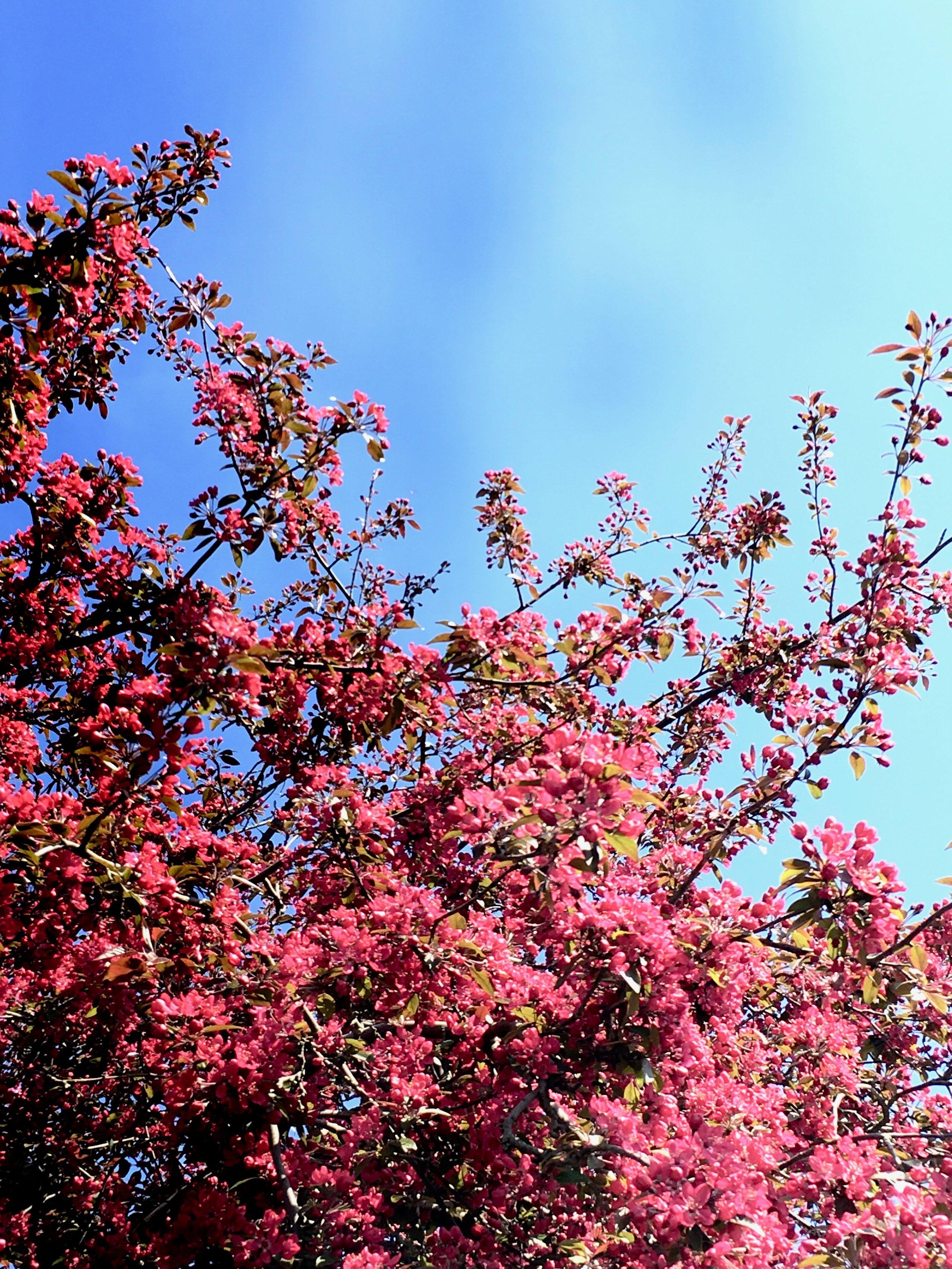 Når 'Freja' blomstrer sådan her, så summer hele træet af glade insekter.