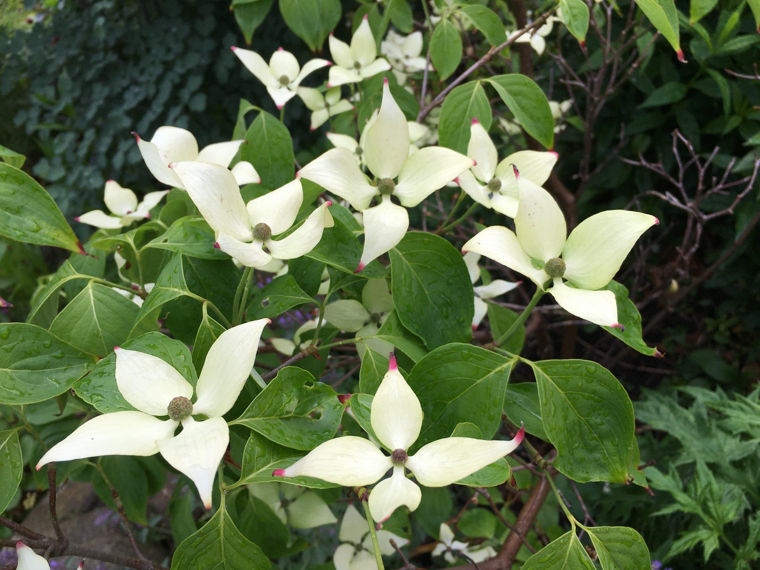 Her er 'China Girl'. Blomsterknopperne dukker allerede op i maj, og så udvikler de sig langsomt. Lige under dem udfolder sig fire svøbblade, som vokser sig større og bliver hvide i juni. Så i virkeligheden er det ikke blomsterne, jeg falder i svime over, men svøbbladene.