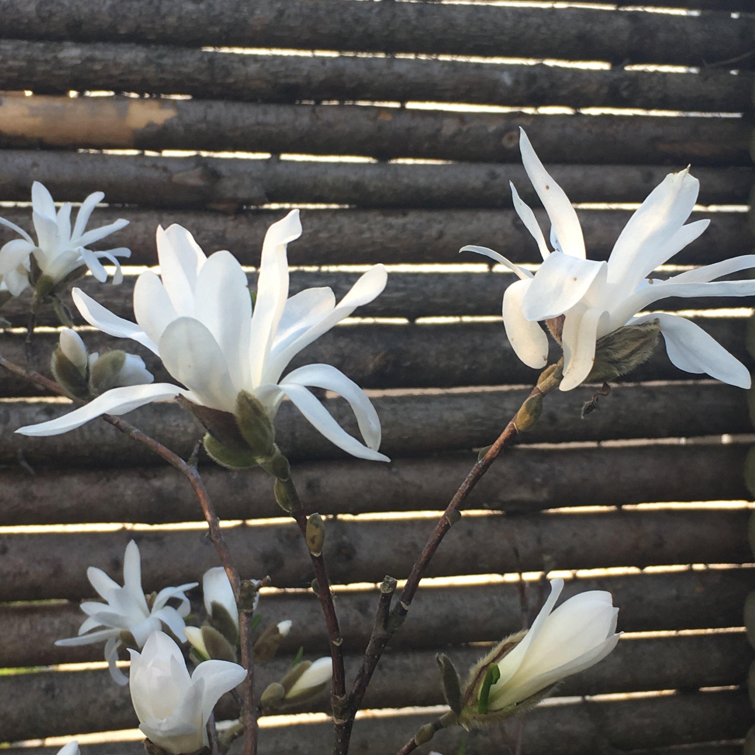 Ok. Hvis du absolut må have en magnolie, så køb en stjernemagnolie. De bliver ikke så store og kan agere højde i et blomsterbed. Jeg har faktisk også en af dem. Også deres lokkesang fik mig.  Hvis du vil være sikker på ikke at gå glip af noget som helst, kan du scrolle ned på siden og skrive dig på mailinglisten, så får du et plim i mailboksen, når der er nyt her på bloggen.  Du kan også følge med på Instagram, hvor der er billeder fra haven sådan cirka hver dag. Her hedder jeg  @sorte.negle.   Endelig kan du være så flink at stemme på Sorte Negle, der er nomineret til Årets Haveblog af Haveselskabet.  Det kan du gøre her  - du behøver ikke stemme i alle kategorierne.