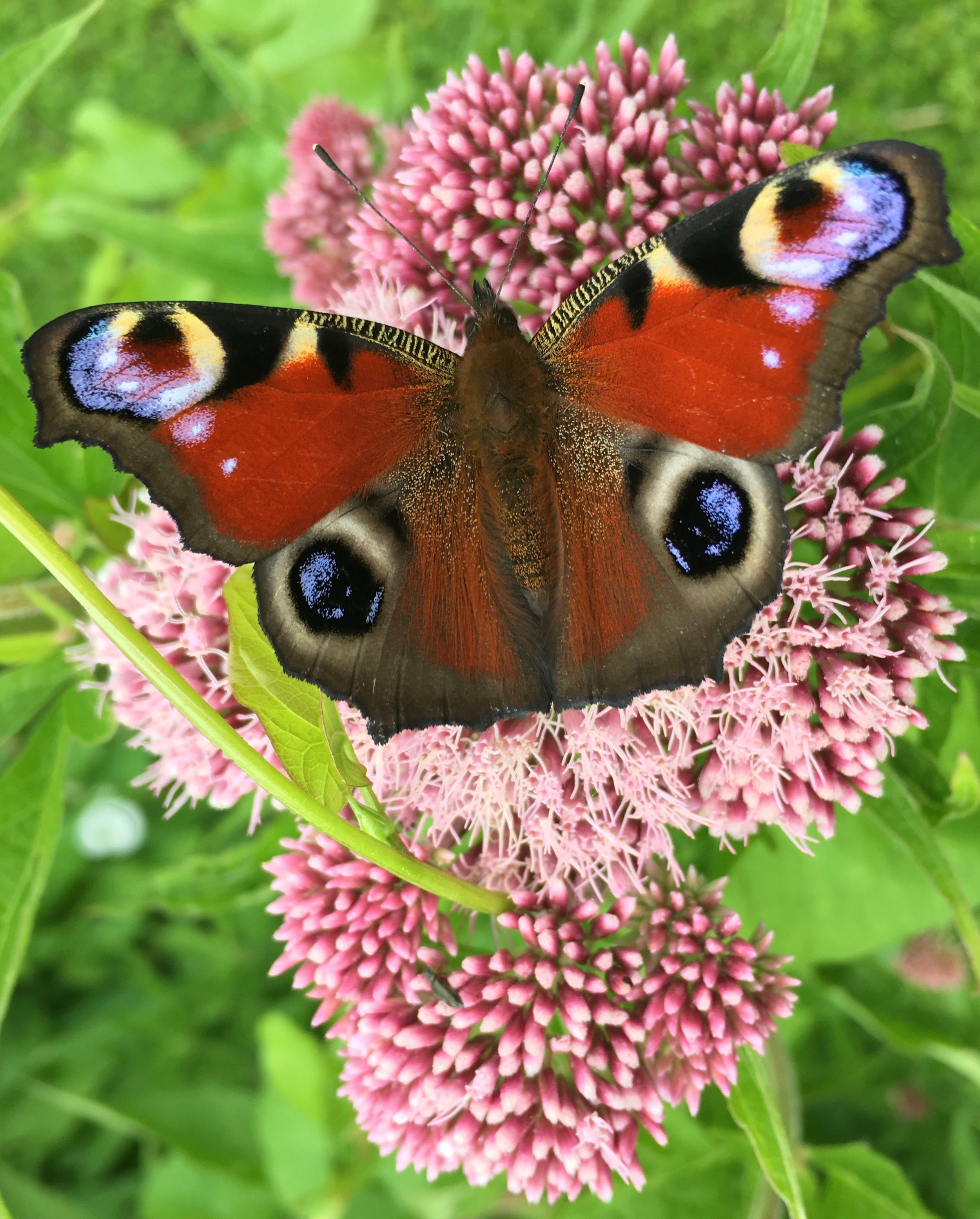 Jeg øver mig i navnene på de sommerfugle, der finder vej til haven og lader brændenælder stå i et hjørne, for der er flere højtspecialiserede sommerfuglelarver som dagpåfugleøje og nældens takvinge, der kun spiser dem.