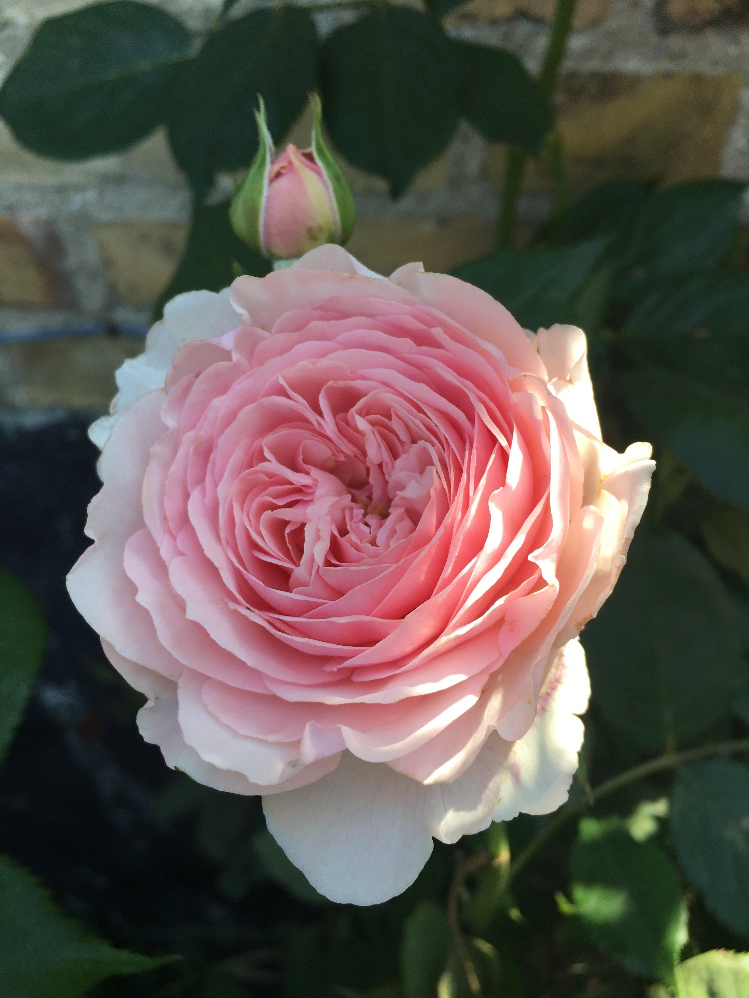 Roser skal også have god jord for at blive sunde og frodige. Og så kan man jo godt stikke næsen i dem, når man lige kommer forbi. Her er det den skønne engelske rose 'Heritage'.