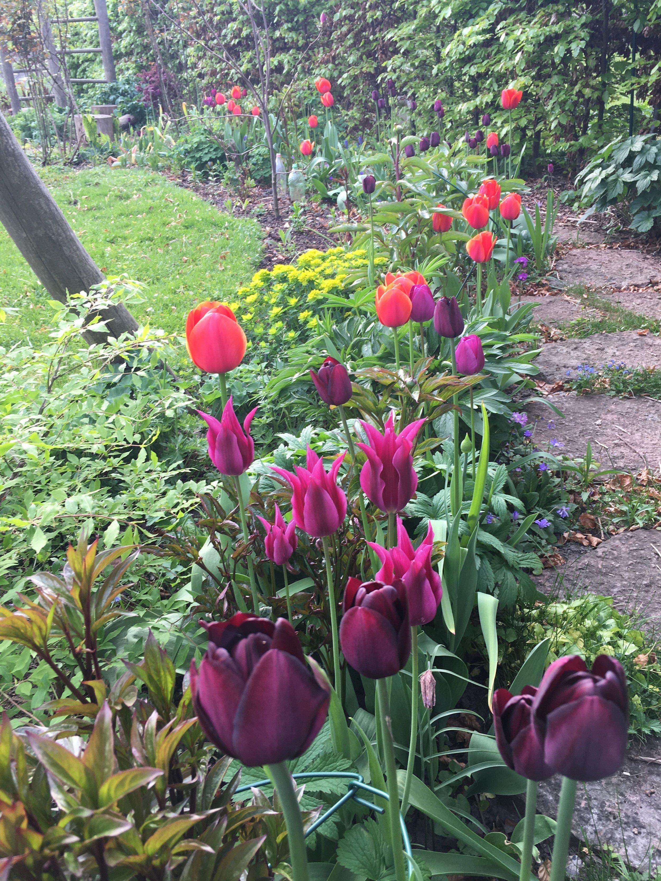 Jeg har tidligere haft et bed med tulipaner i aubergine, lilla og orange. Det gik ret godt, synes jeg. Her er det Queen of Night, den liljeblomstrende Maytime, lilla Negrita og orange Ballerina.