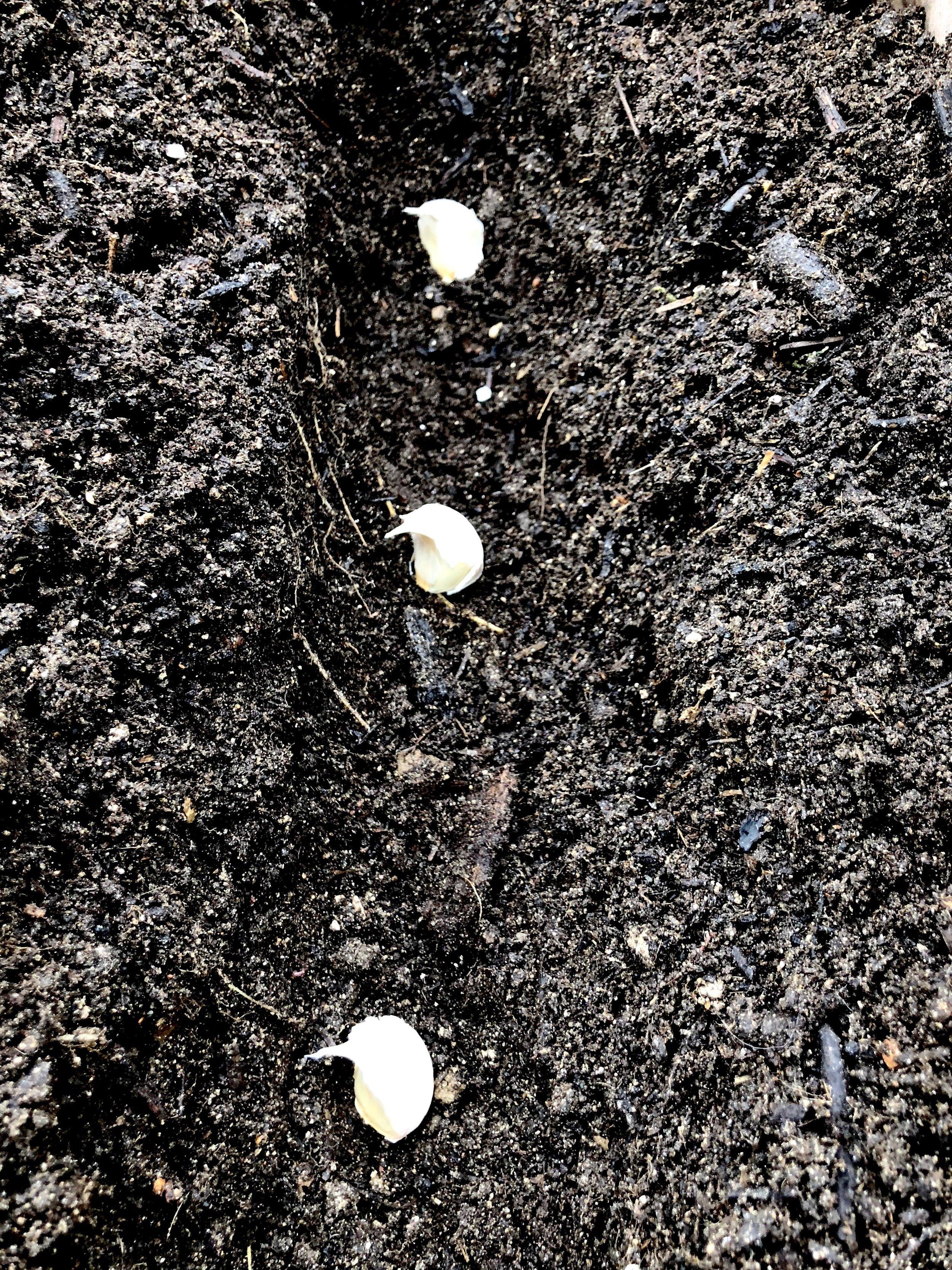De små fed er klar til at arbejde. De slår rødder, når temperaturen kommer under 8° C. Derfor skal løgene sættes 6–8 uger før første rigtige frost, som jo kan være svært at forudsige, men her omkring nu burde ikke være helt skævt. I løbet af vinteren dannes feddene, og når temperaturen igen kommer over 5° C, begynder hvidløget for alvor at vokse.