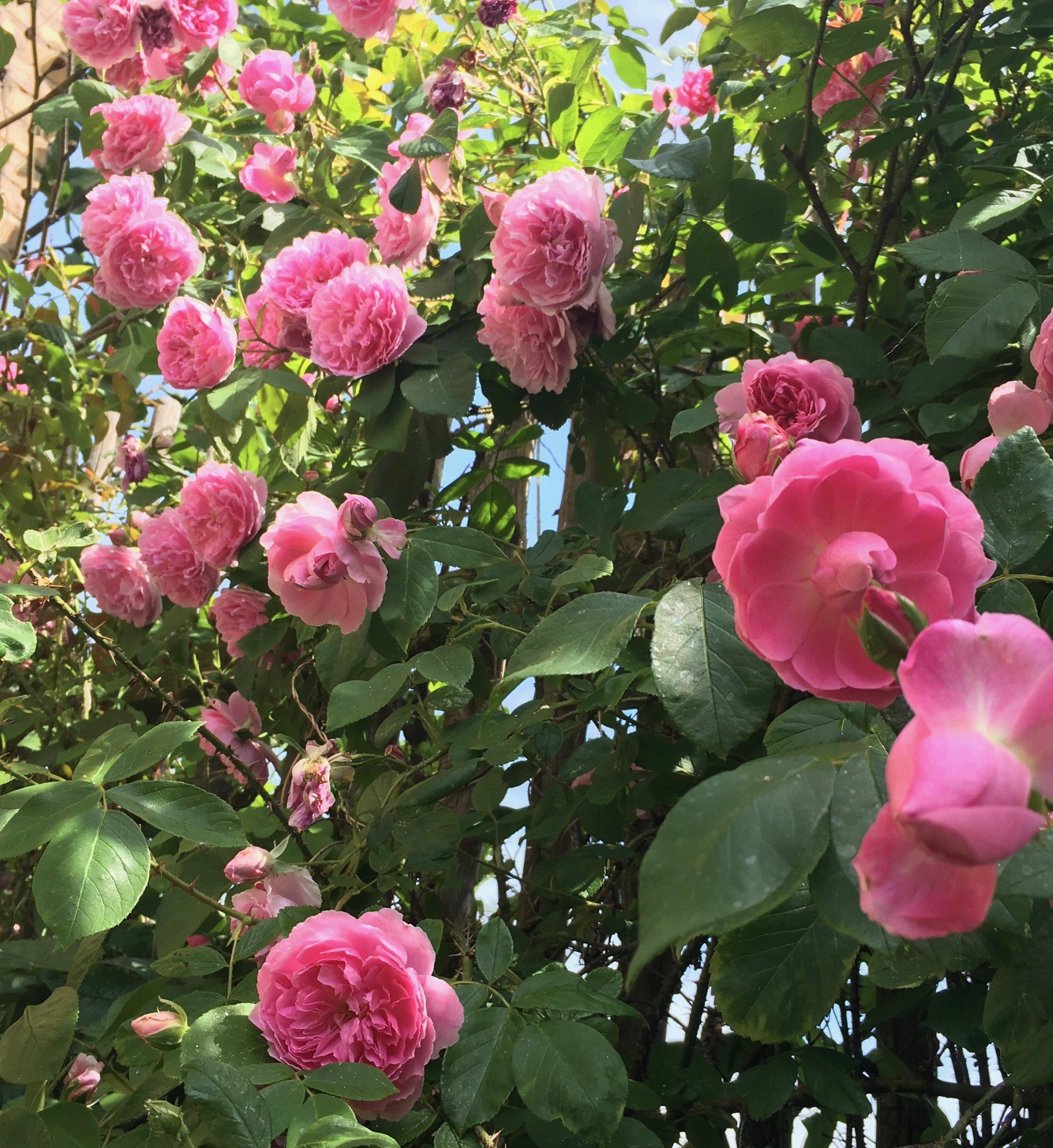 JUNI: Blomster overalt. Forårets spæde friskhed transformeres til sommerens frodighed.