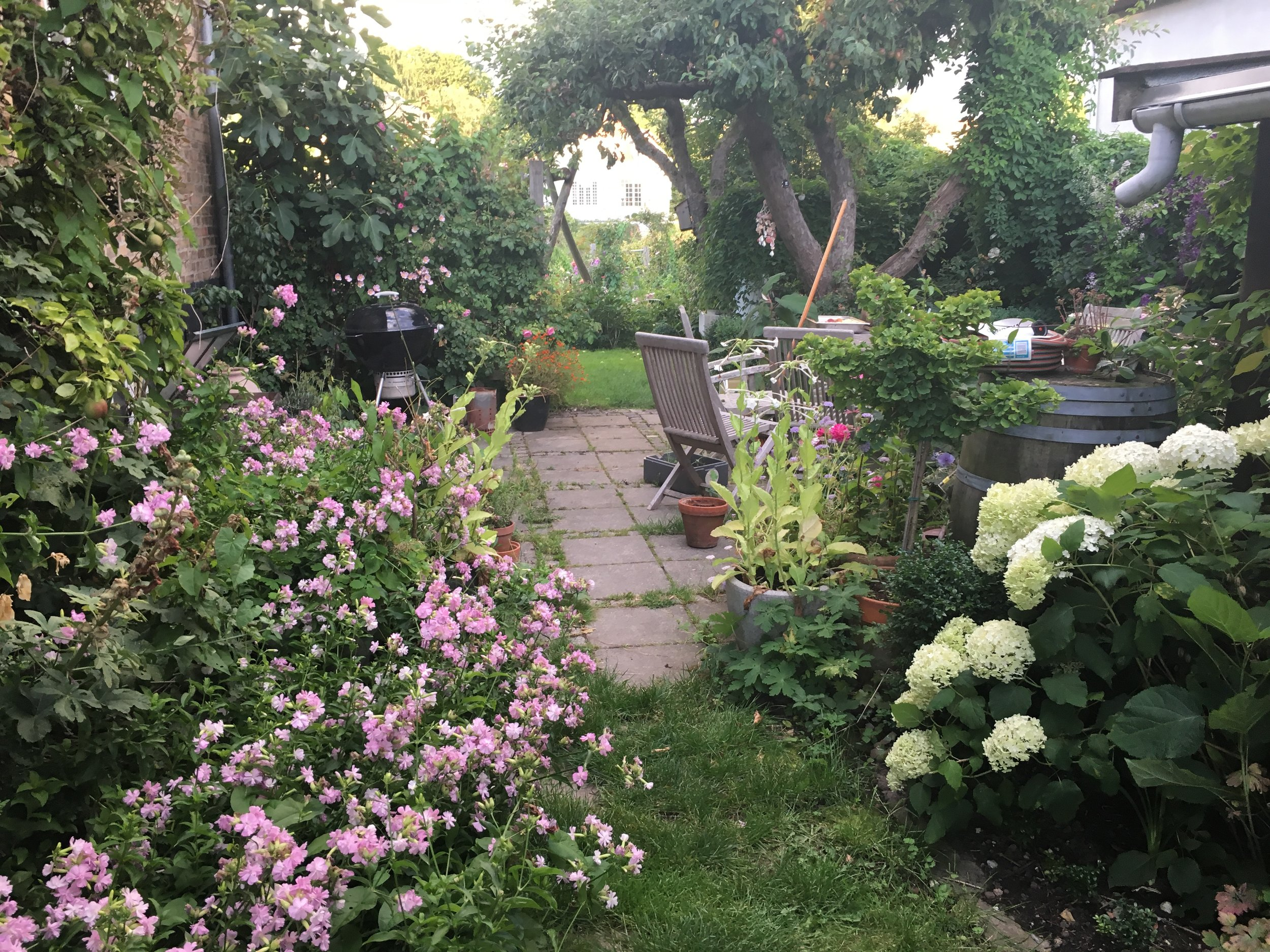 AUGUST: Sæbeurt og hortensia ved terrassen. Der er meget at gøre efter at have været væk fra haven et par uger.
