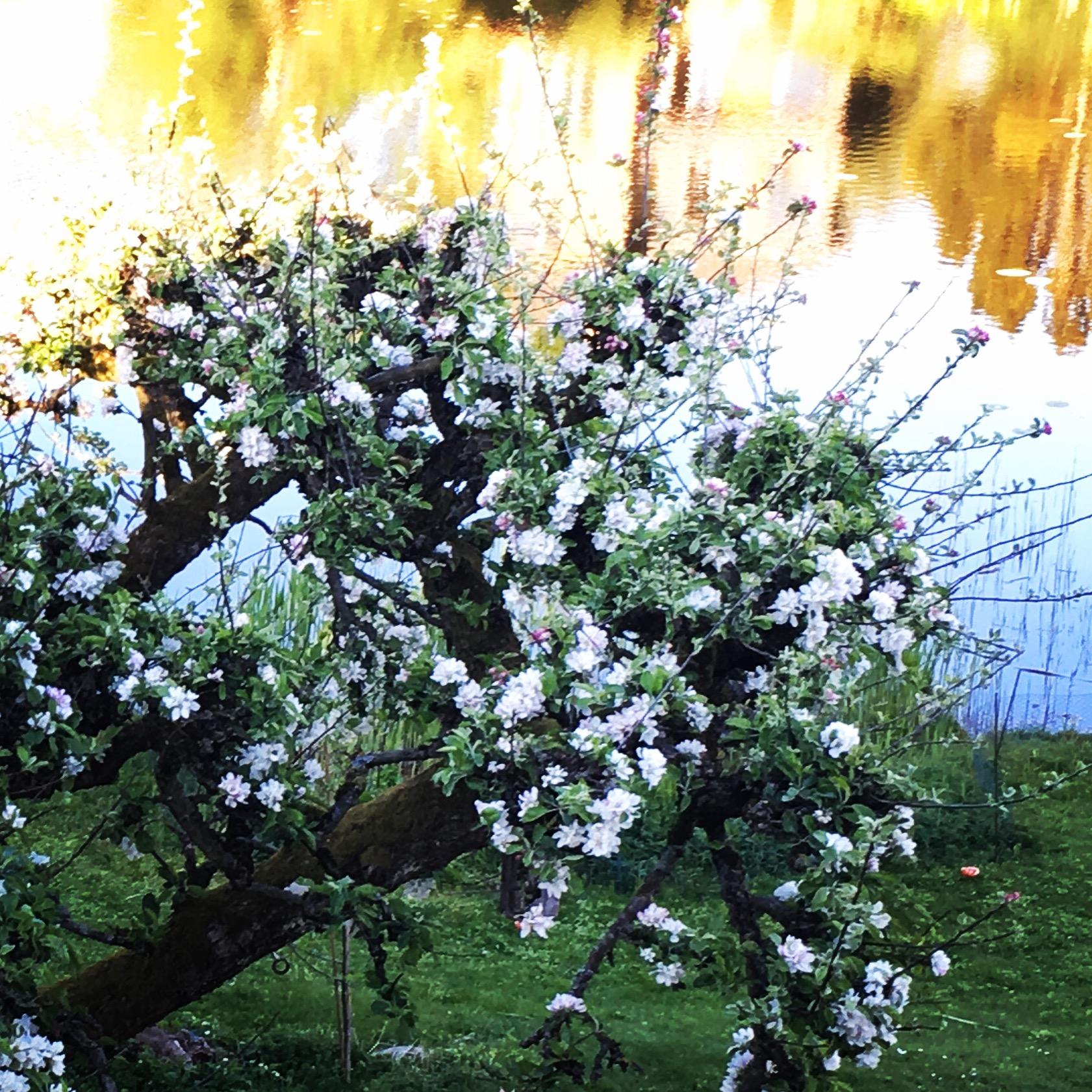 MAJ: Blomstrende træer, tulipaner, bøgeskov. Æbletræerne er de smukkeste i min have. Køkkenhaven startes op for alvor. Hurra for helligdage.