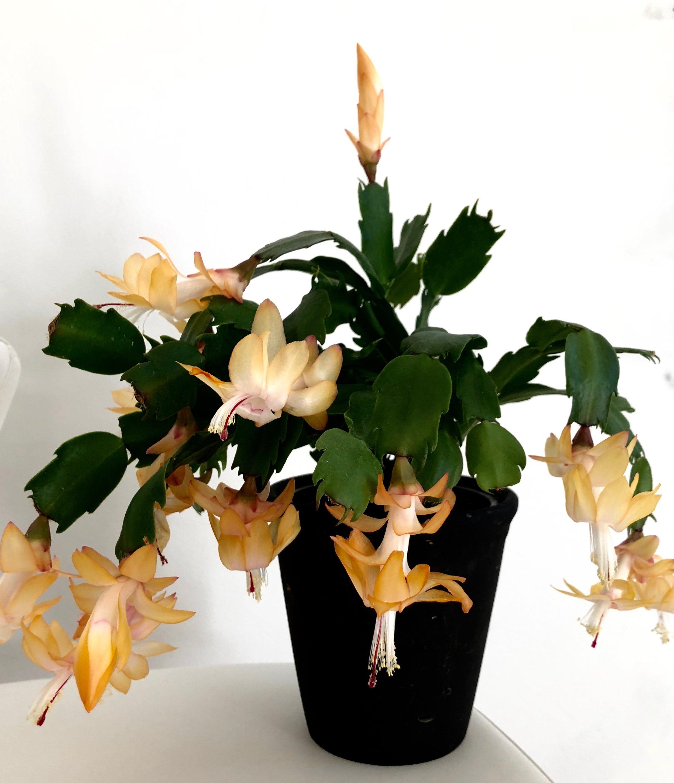 Novemberkaktus fås i alle mulige farver. Fjern blomsterne, når de visner. Bare knib dem af med fingrene.