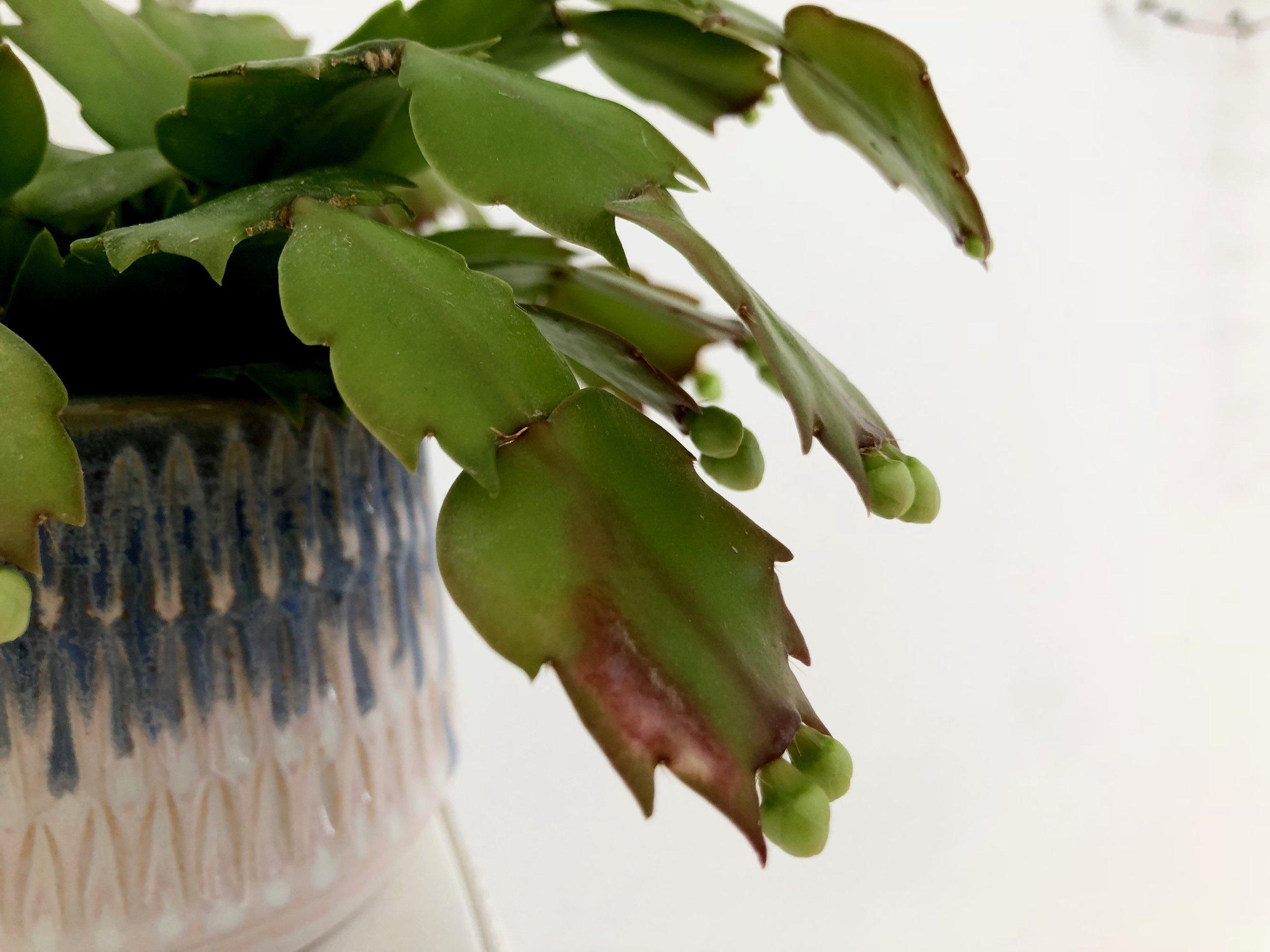 Der findes to slags kaktus: ørkenkaktus og skovkaktus. Novemberkaktus hører til den sidste kategori. Derfor trives den bedst i halvskygge i modsætning til ørkenkaktus, som gerne vil bages i solen, for den gror under træernes krone. Hvis de står i direkte sol, kan de være nærige med blomster, og bladene bliver rødlige - hvilket er sket for den her uheldige fyr, der har solet sig for længe i et vestvendt vindue. Den ser nu ud til at sætte blomster alligevel.
