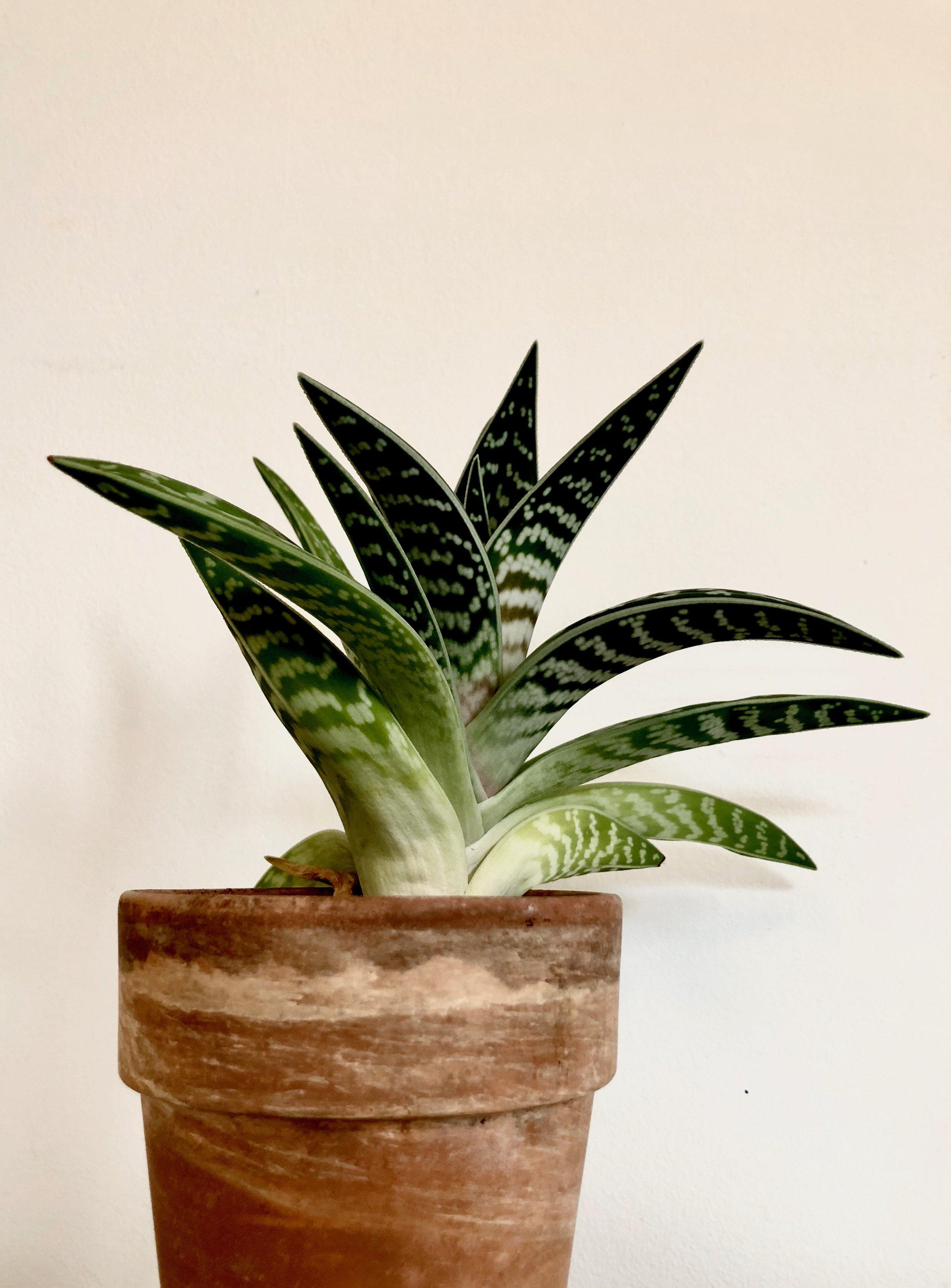 Aloe vera er blandt de planter, der er blevet testet. En særlig feature ved Aloe vera er, at dens stomata er åbne om natten (modsat mange andre planters), og den laver derfor fotosyntese, mens vi sover - og anbefales (nok især af folk der sælger planter) til soveværelset, fordi den producerer frisk luft om natten.