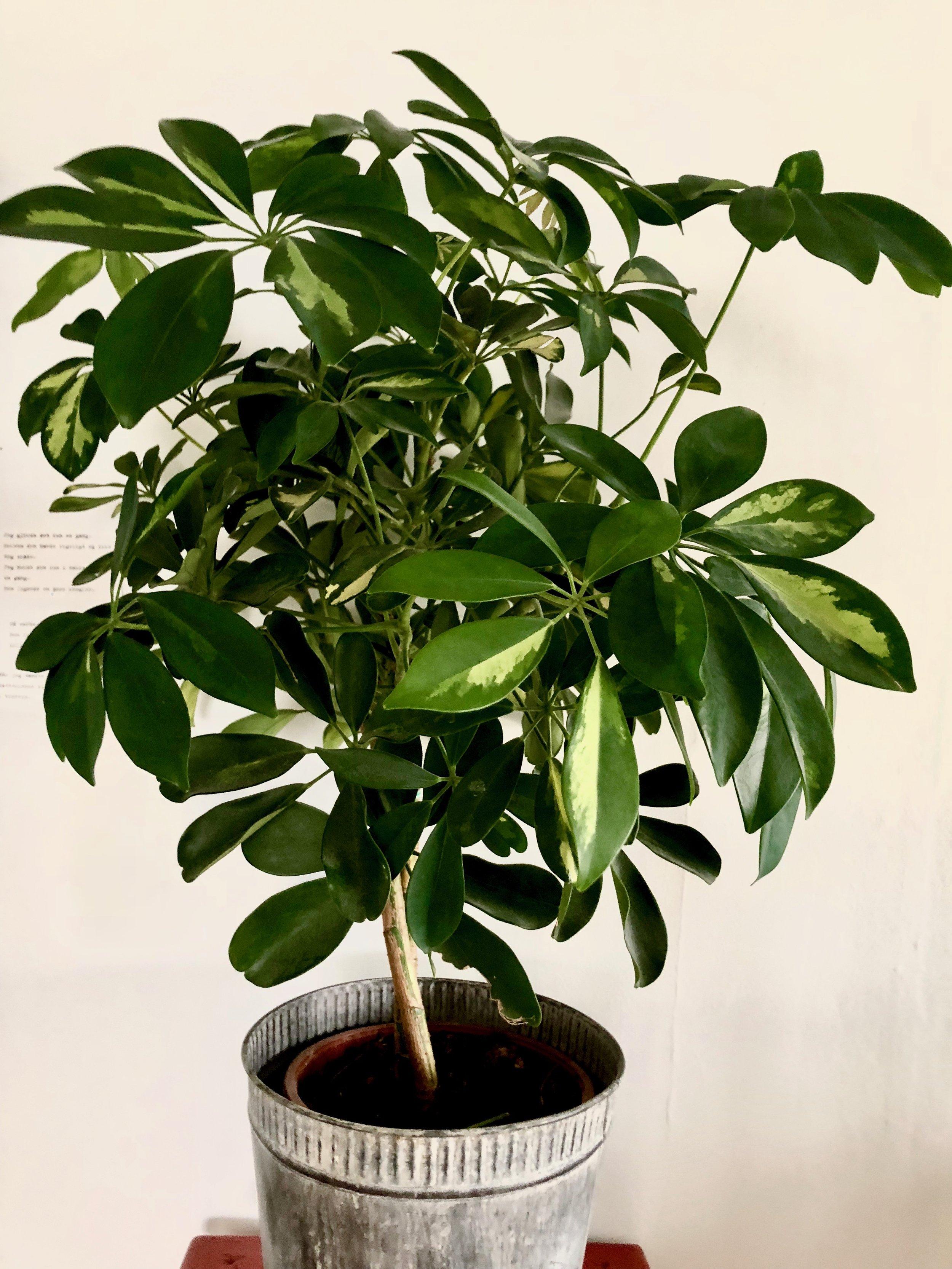Schefflera arboricola 'Capella'