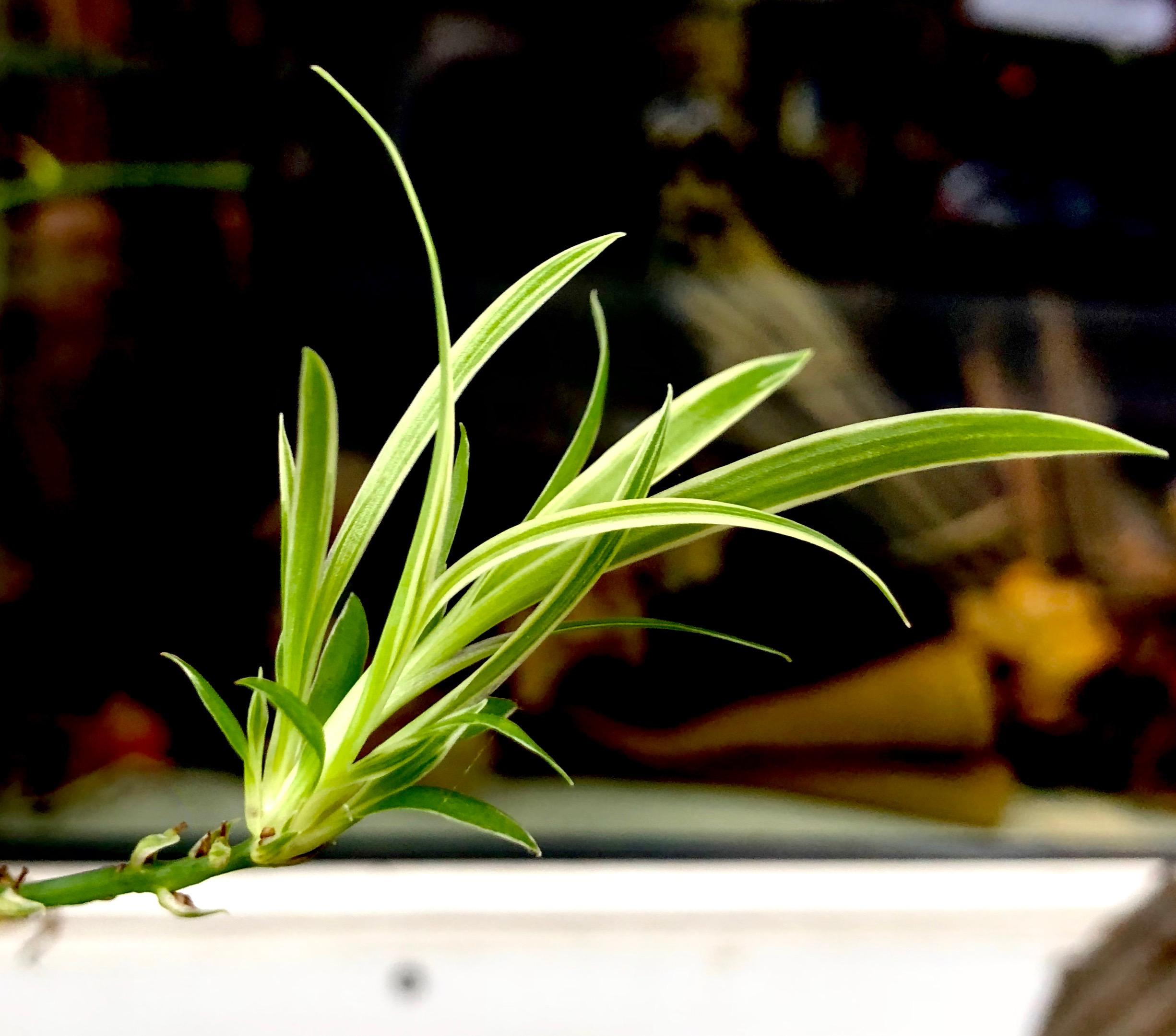 På engelsk kaldes den 'Spider plant', hvilket må hentyde til de små 'børn', som godt kan ligne edderkopper. Jeg har også hørt den omtalt som 'Kast børnene ud af vinduet'.