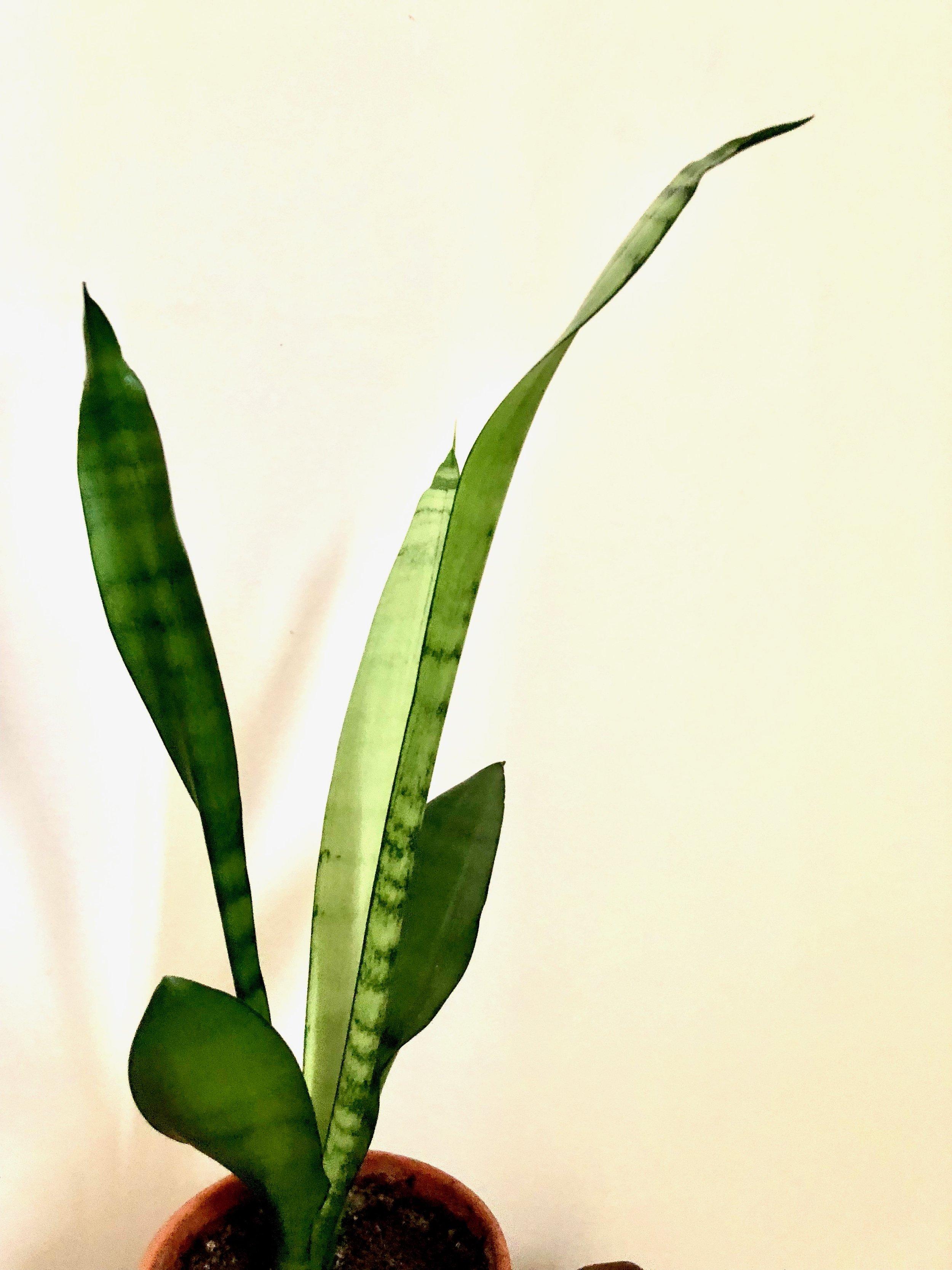 Der findes mange slags Sansevaria. Denne her er er købt på et plantemarked og er vist nok en Sansevaria trifasciata 'Robusta'.